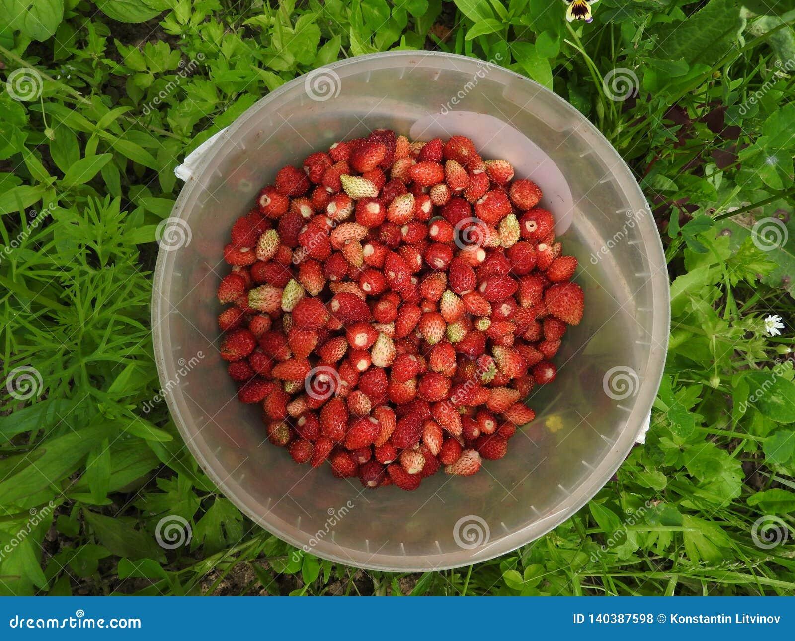 Un seau de fraises se tient sur l herbe verte