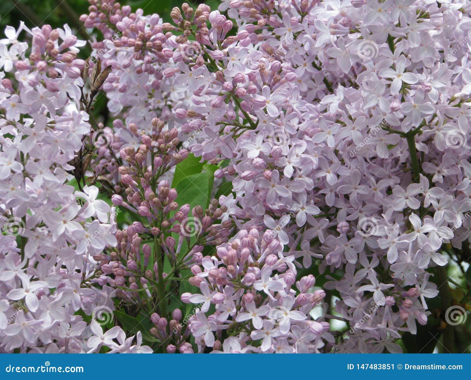 Un sentido de la alegría y continuación de la vida, mirando en la lila del arbusto