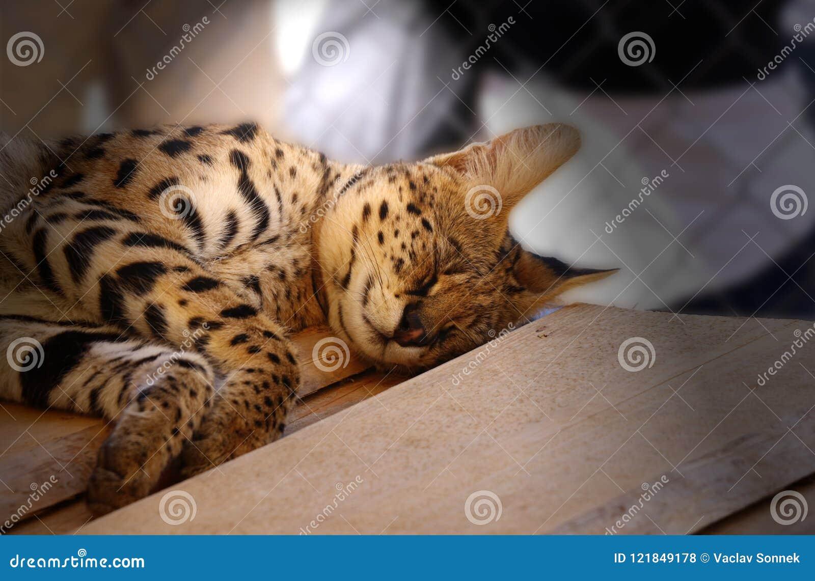 Un serval di sonno nei giorni caldi