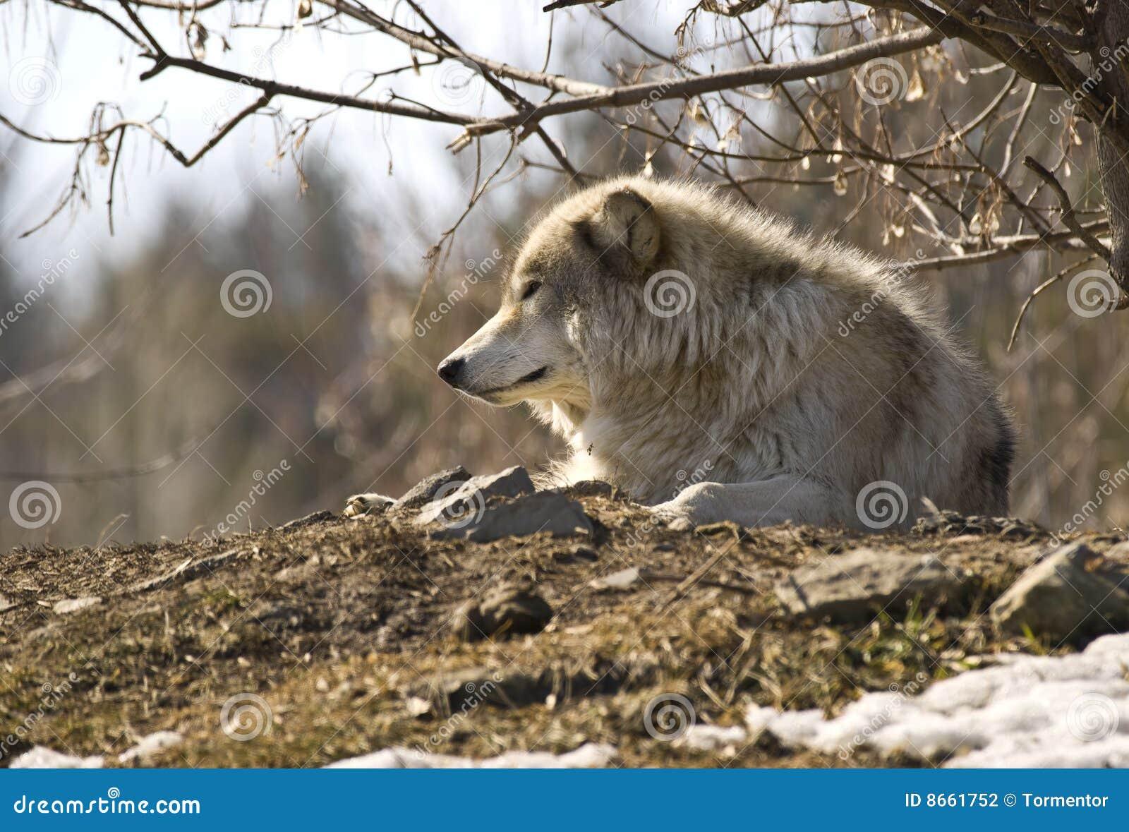 Un seul loup gris se reposant sur une côte