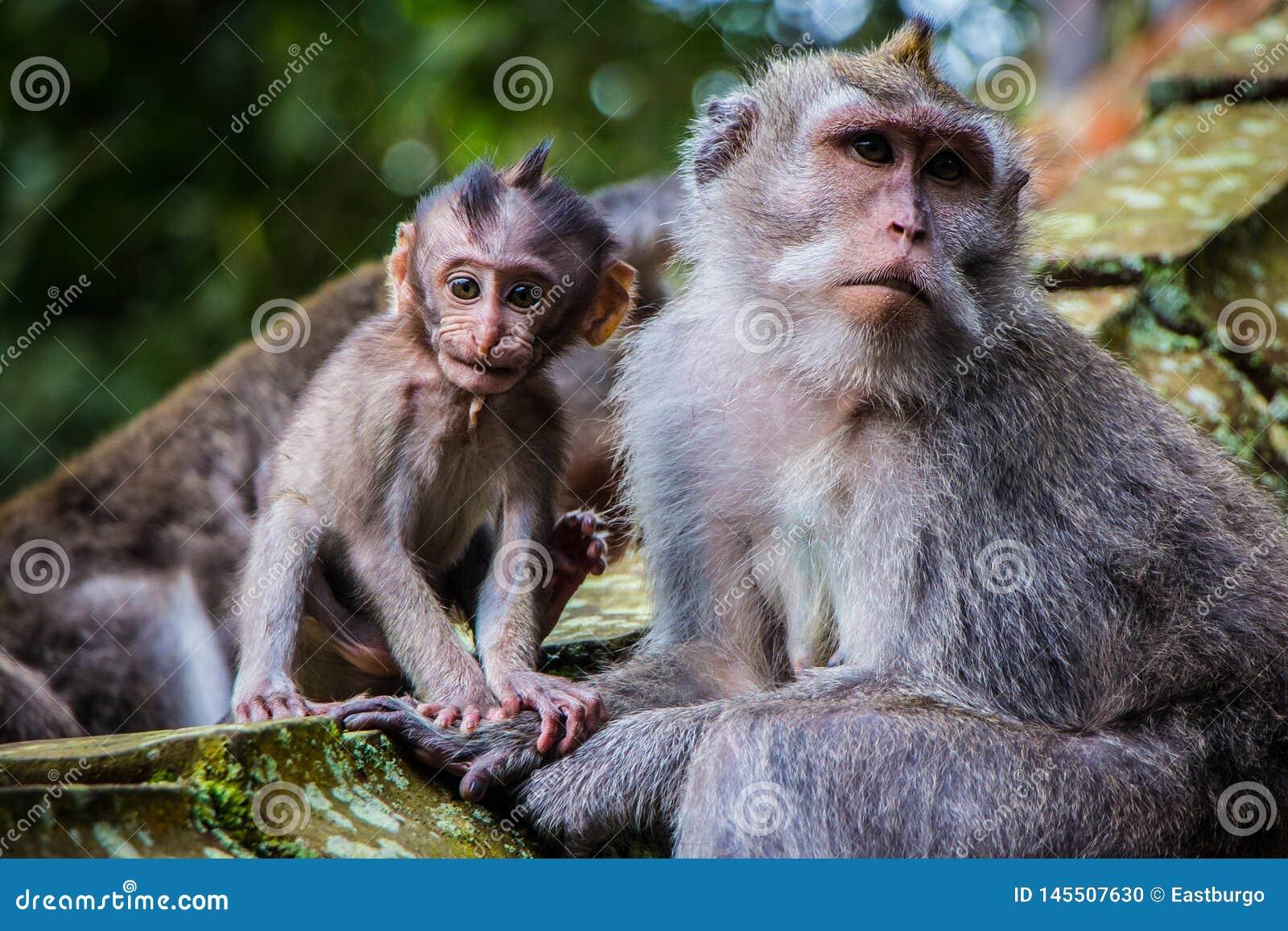 Un singe nouveau-né de bébé pose avec sa mère