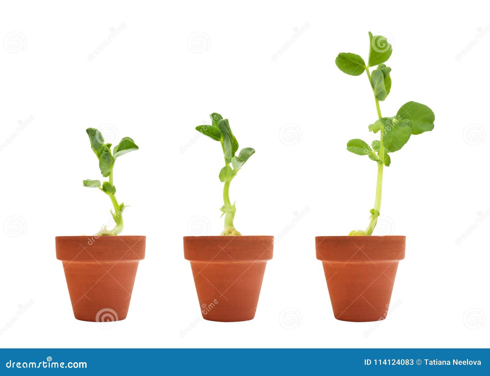 Un sistema de germinación orgánica de tres semillas de guisante El guisante verde brota en los potes sin pintar de cerámica de la