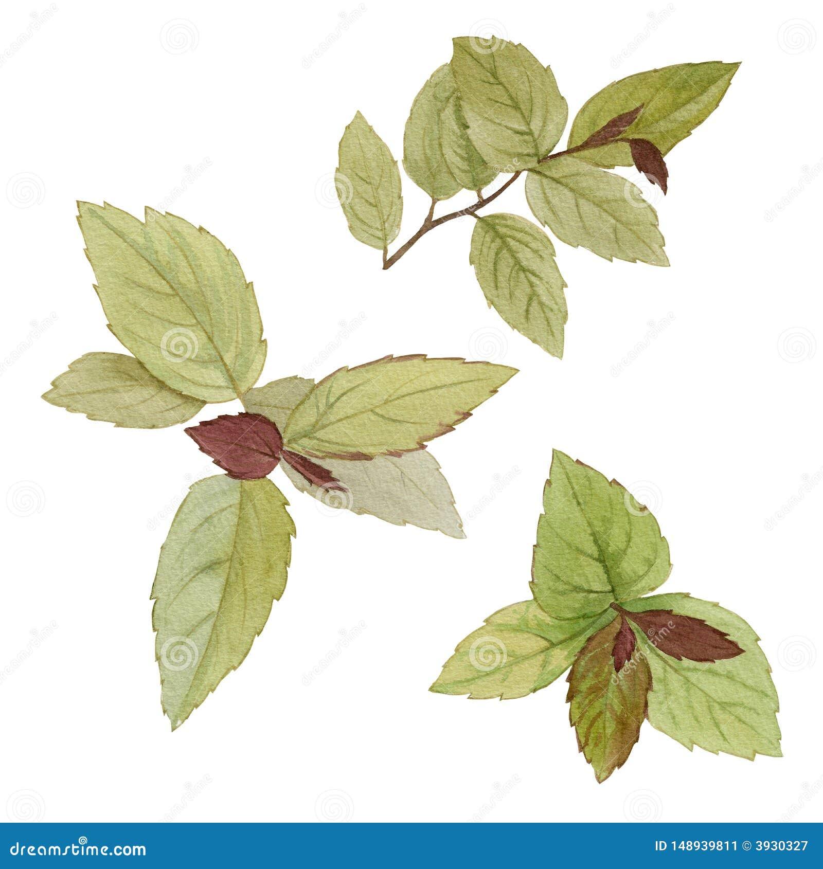 Un sistema de hojas Sistema de la pintura de la acuarela de hojas en un fondo blanco Ejemplo de la acuarela del drenaje de la man