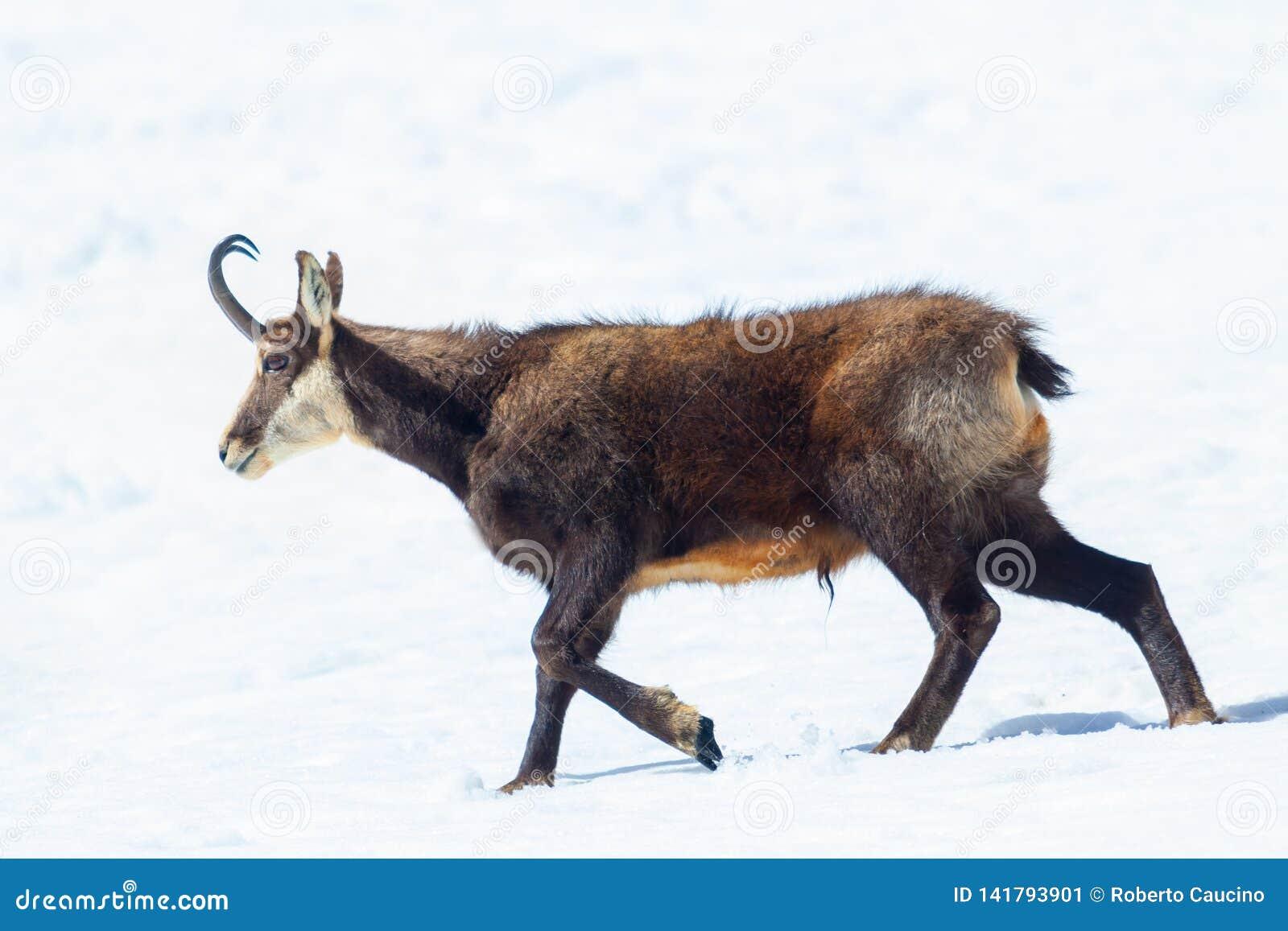 Un spécimen des promenades de chamois dans la neige dans les Alpes italiens Parc national de Paradiso de mamie, Aosta, Italie