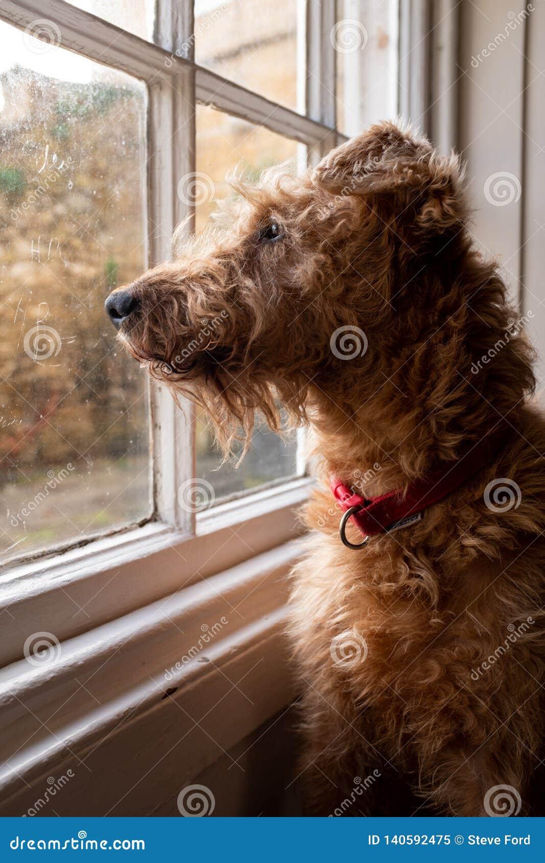 Un terrier irlandais se reposant dans une fenêtre regardant désireux