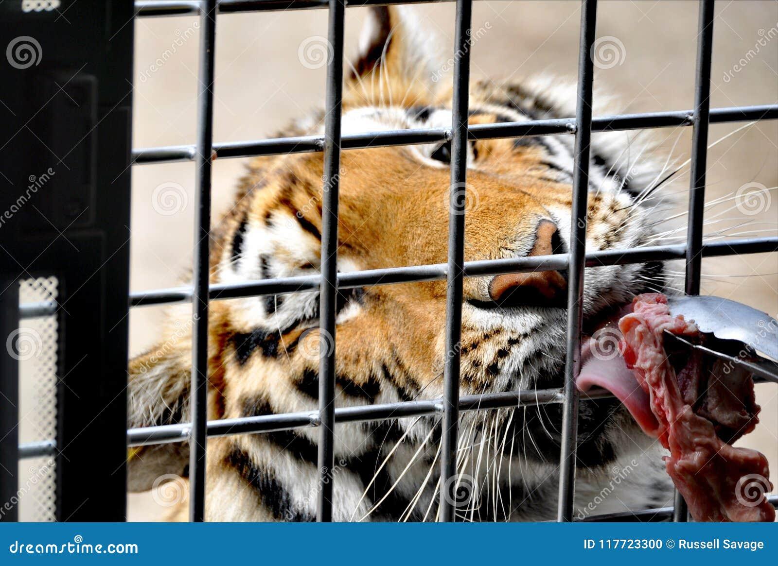Un tigre affamé à Harbin
