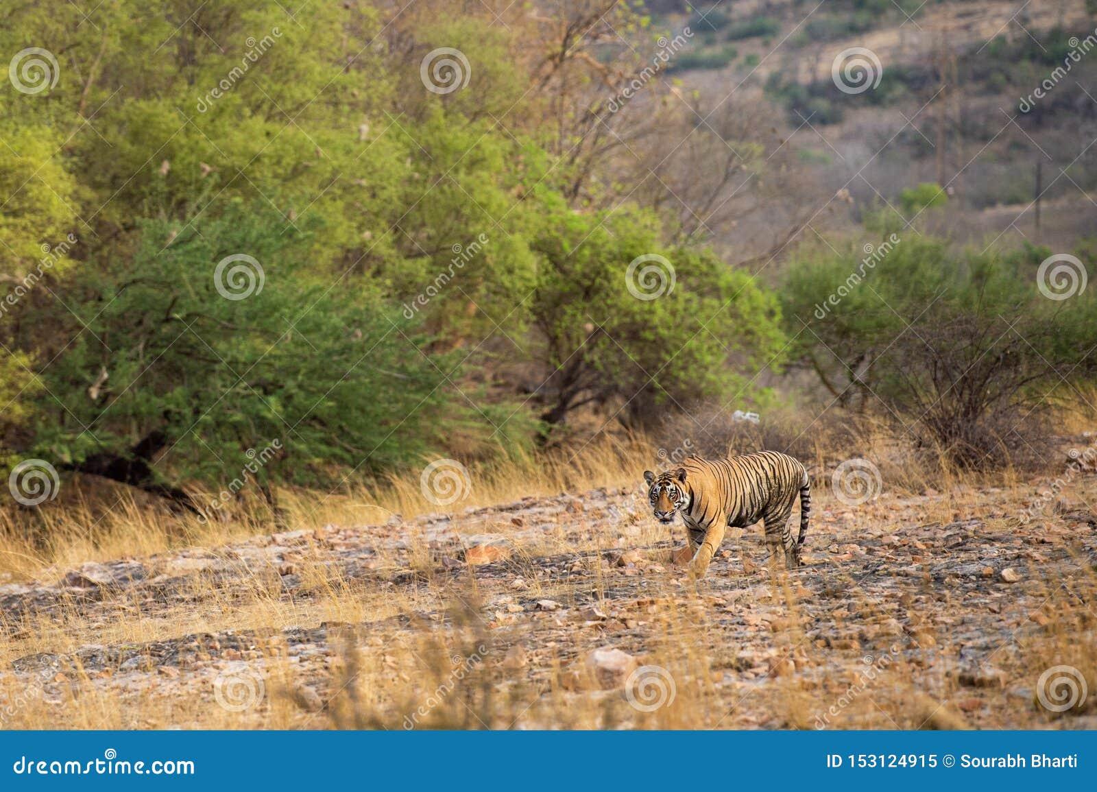 Un tigre o un panthera masculino real el Tigris de Bengala en vagabundeo con un paisaje seco del fondo de las colinas de los árbo
