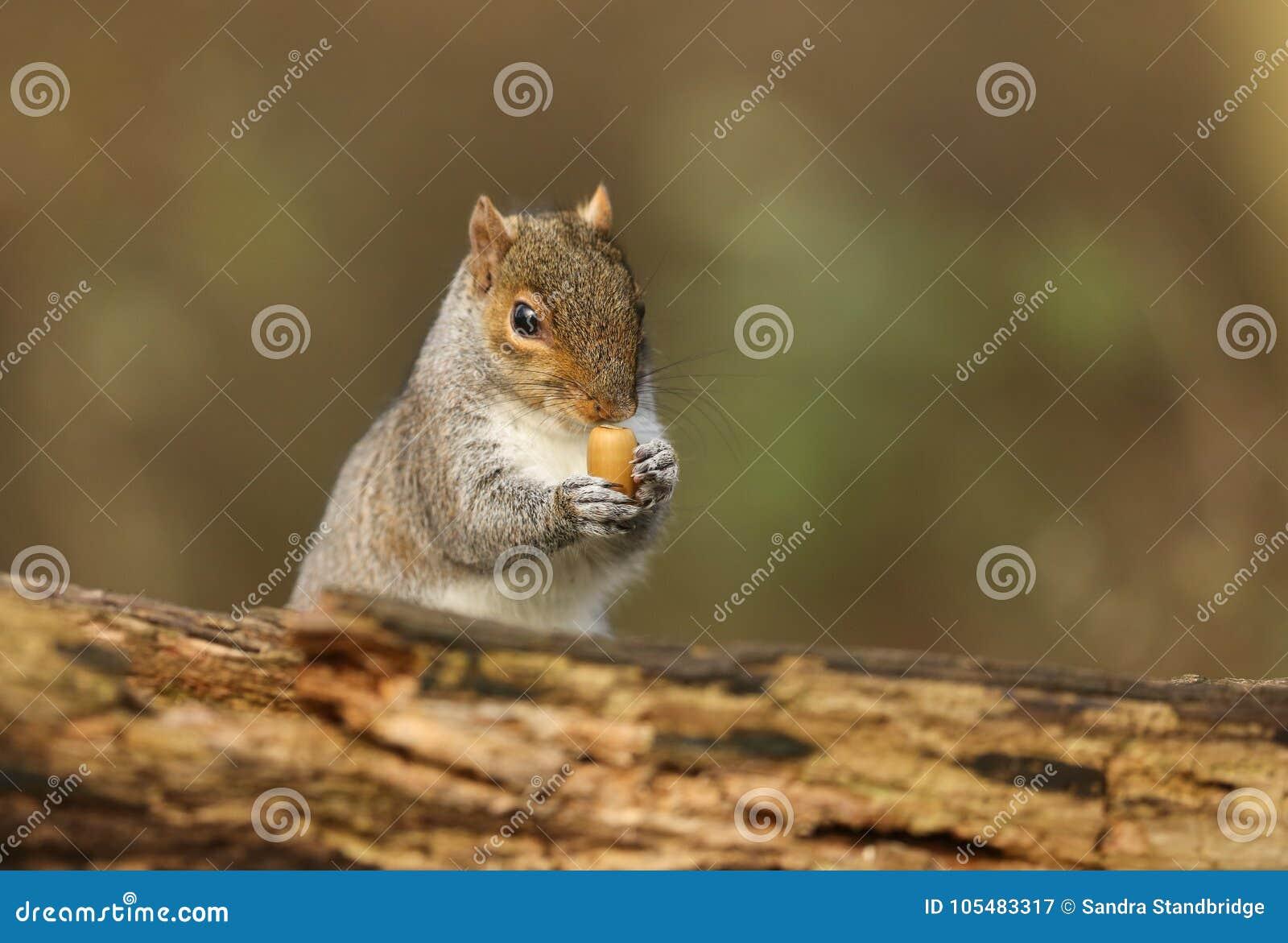 Un tir humoristique d un carolinensis mignon de Grey Squirrel Scirius jugeant un gland évasé dans des ses pattes