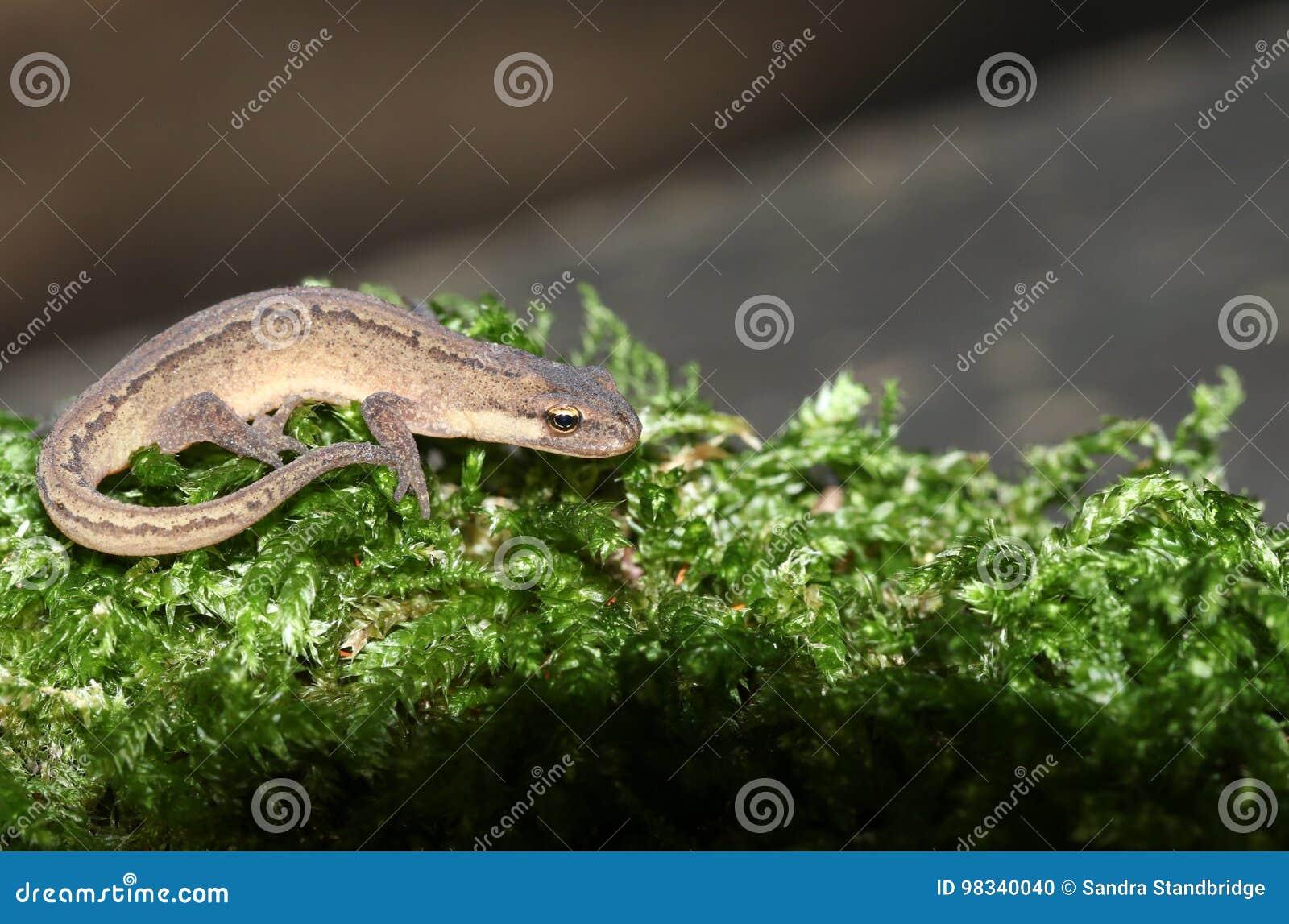 Un triton lisse également connu sous le nom de chasse vulgaris commune de Newt Lissotriton dans la mousse