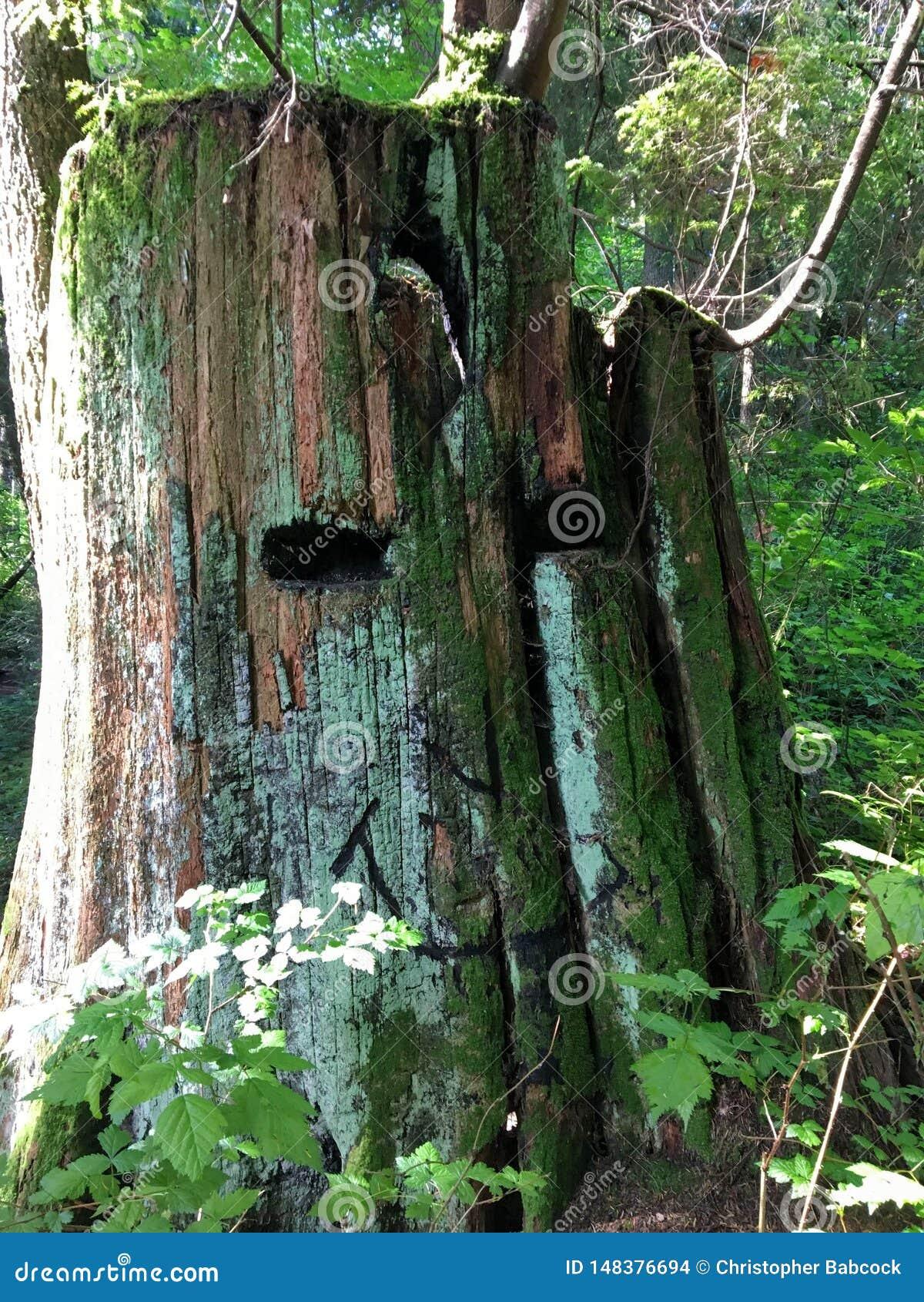 Un tronçon moussu énorme d un arbre de cèdre rouge avec un visage de sourire unique découpé dans le tronc C est dans les forêts d