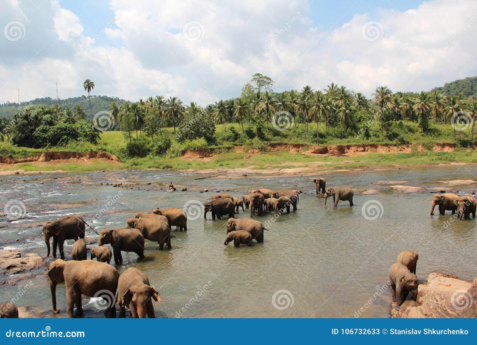 Un troupeau d éléphants est venu à l endroit d arrosage Un troupeau d éléphants est venu à l endroit d arrosage