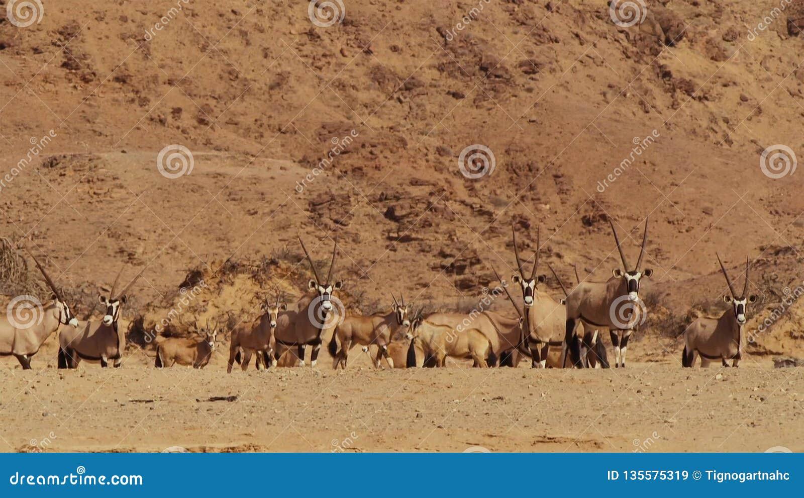 Un troupeau d antilope de springbok à un abreuvoir dans la savane namibienne