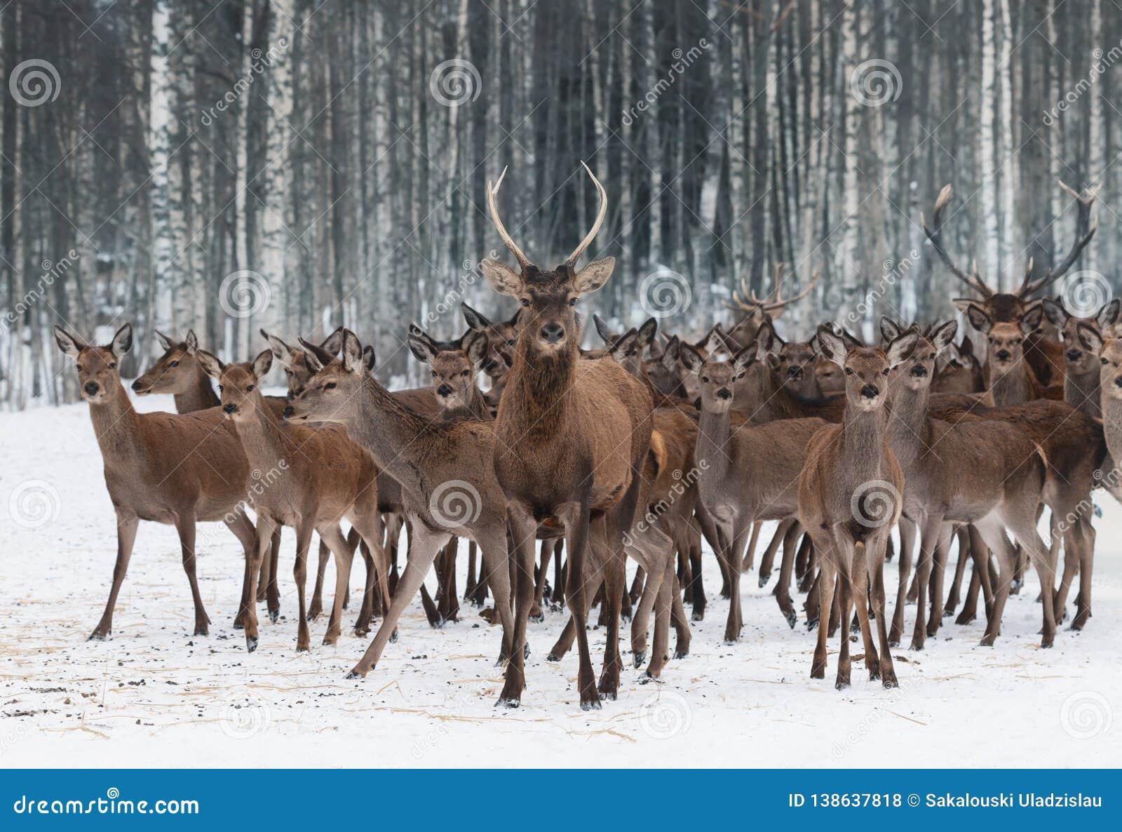 Un troupeau de cerfs communs de différents sexes et de différents âges, menés par un jeune mâle curieux dans le premier plan Clo