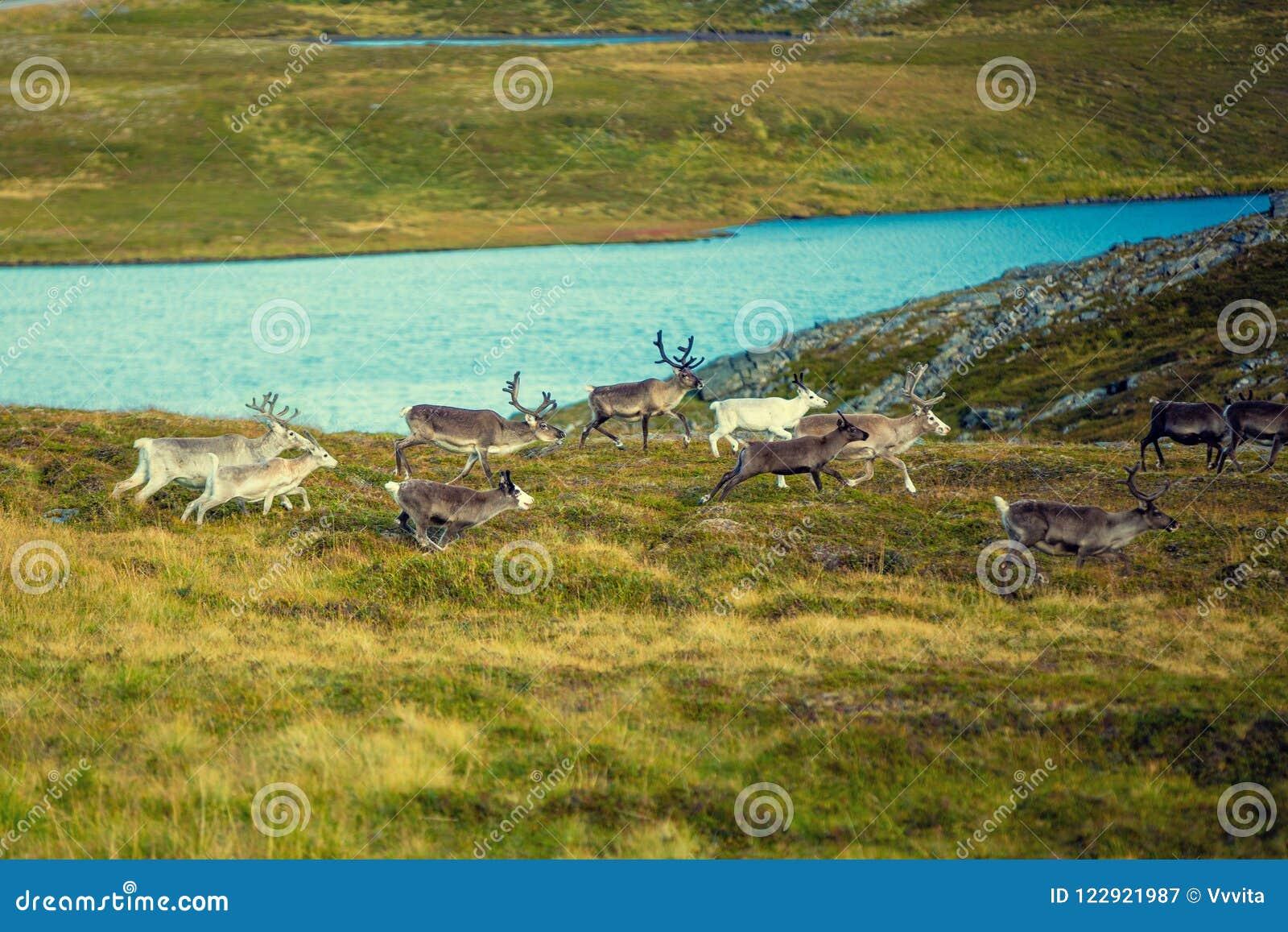 Un troupeau de cerfs communs fonctionne le long de la toundra
