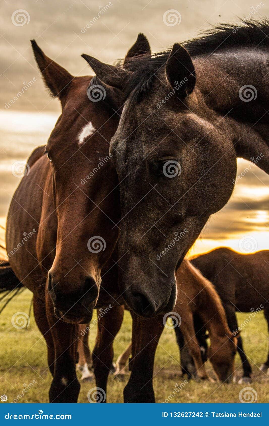 Un troupeau de chevaux frôle et gambade les uns avec les autres au coucher du soleil