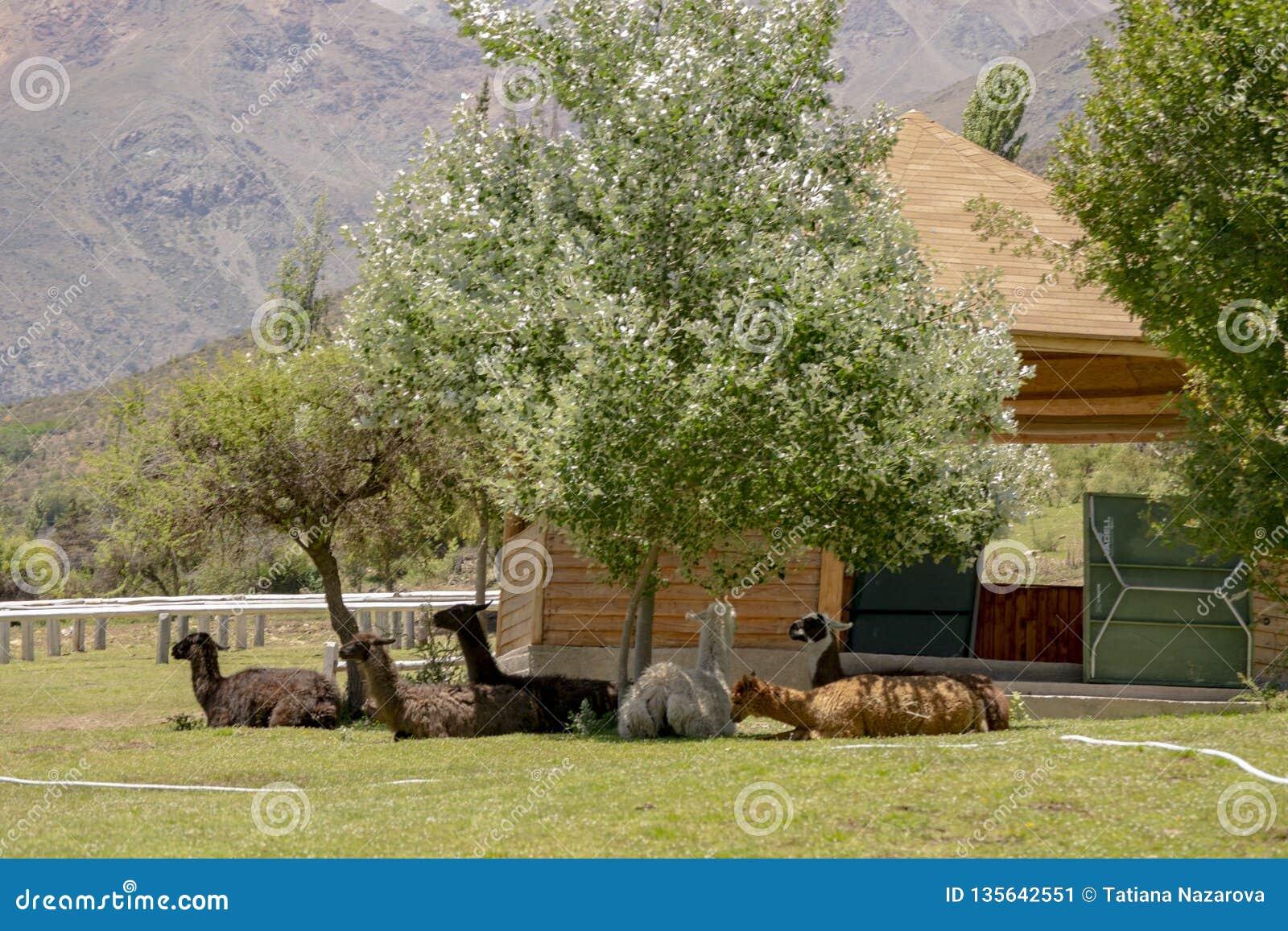 Un troupeau de lamas se situe à la nuance sous un arbre