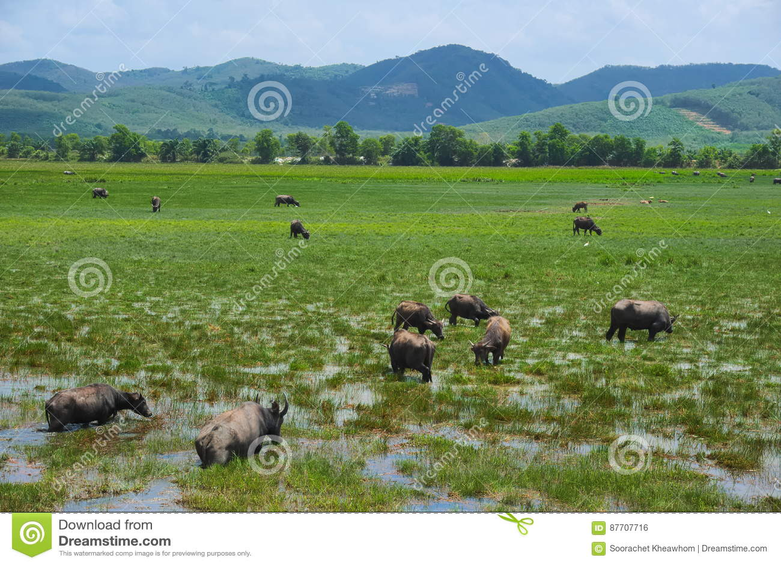 Un troupeau de pâturage du ` s de buffle