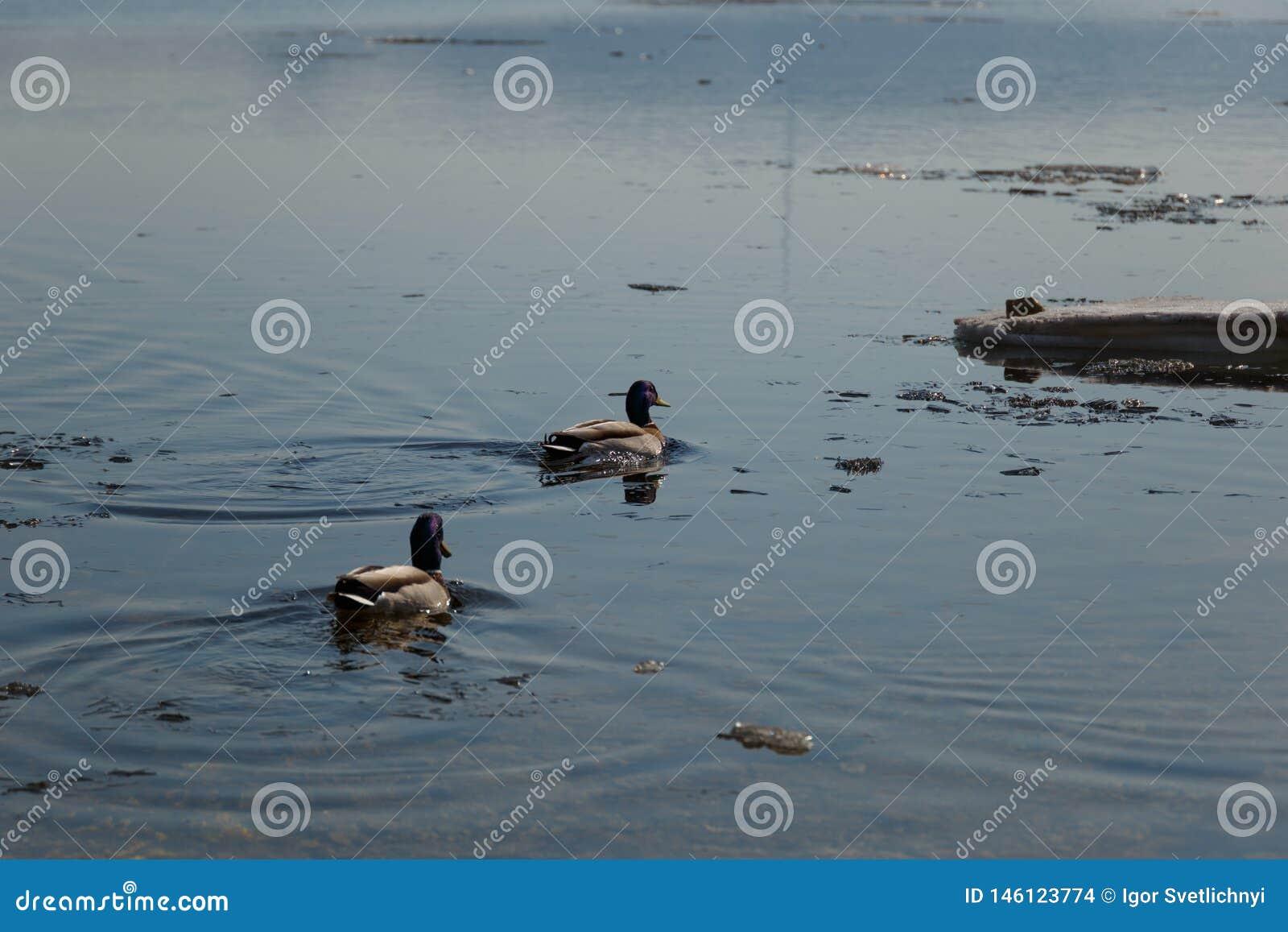 Un troupeau des canards sauvages nageant en rivière après l hiver