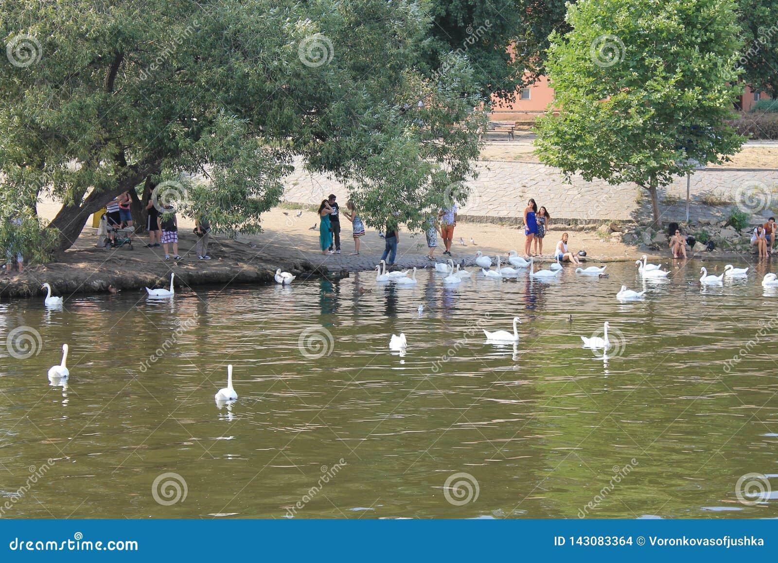 Un troupeau des cygnes blancs sur la rivière de Vltava dans la République Tchèque de Prague