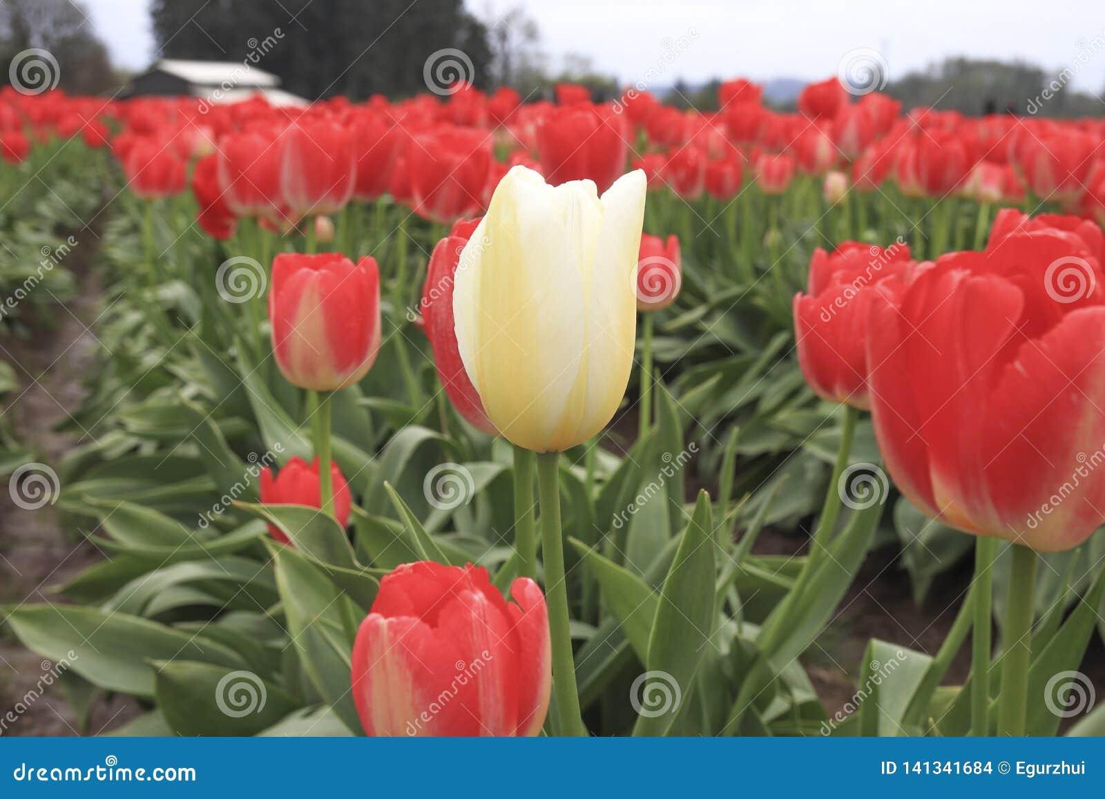 Un tulipán blanco que crece en una fila roja del tulipán