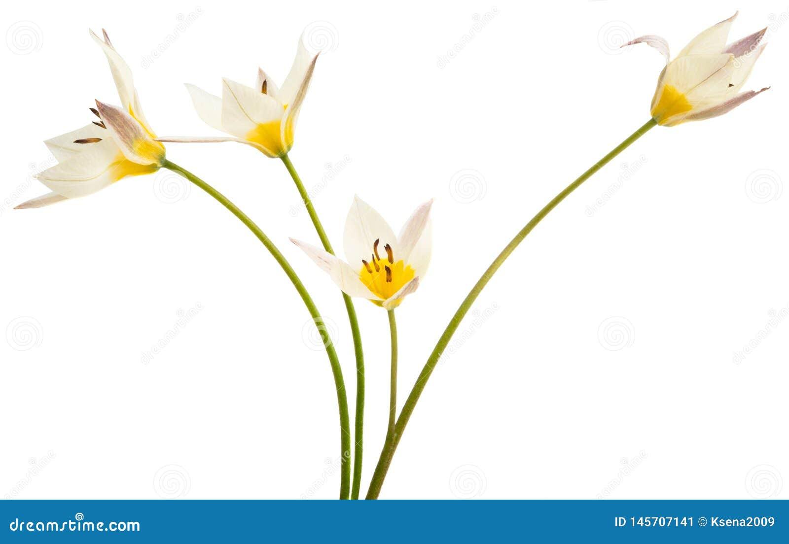 Un tulipano di due colori ha isolato