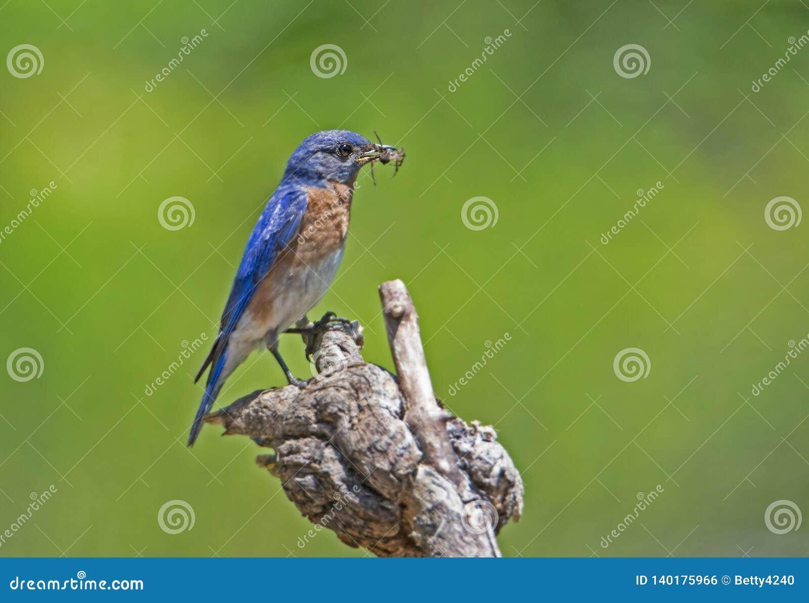Un uccellino azzurro maschio porta in insetti al suo compagno