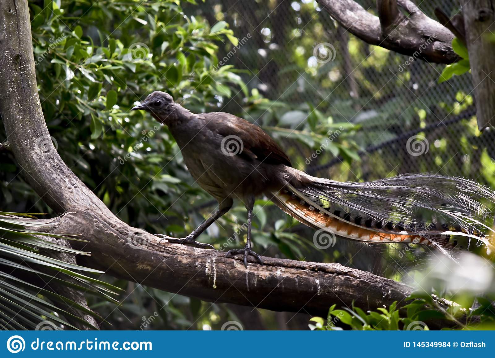 Un uccello della lira su un ramo