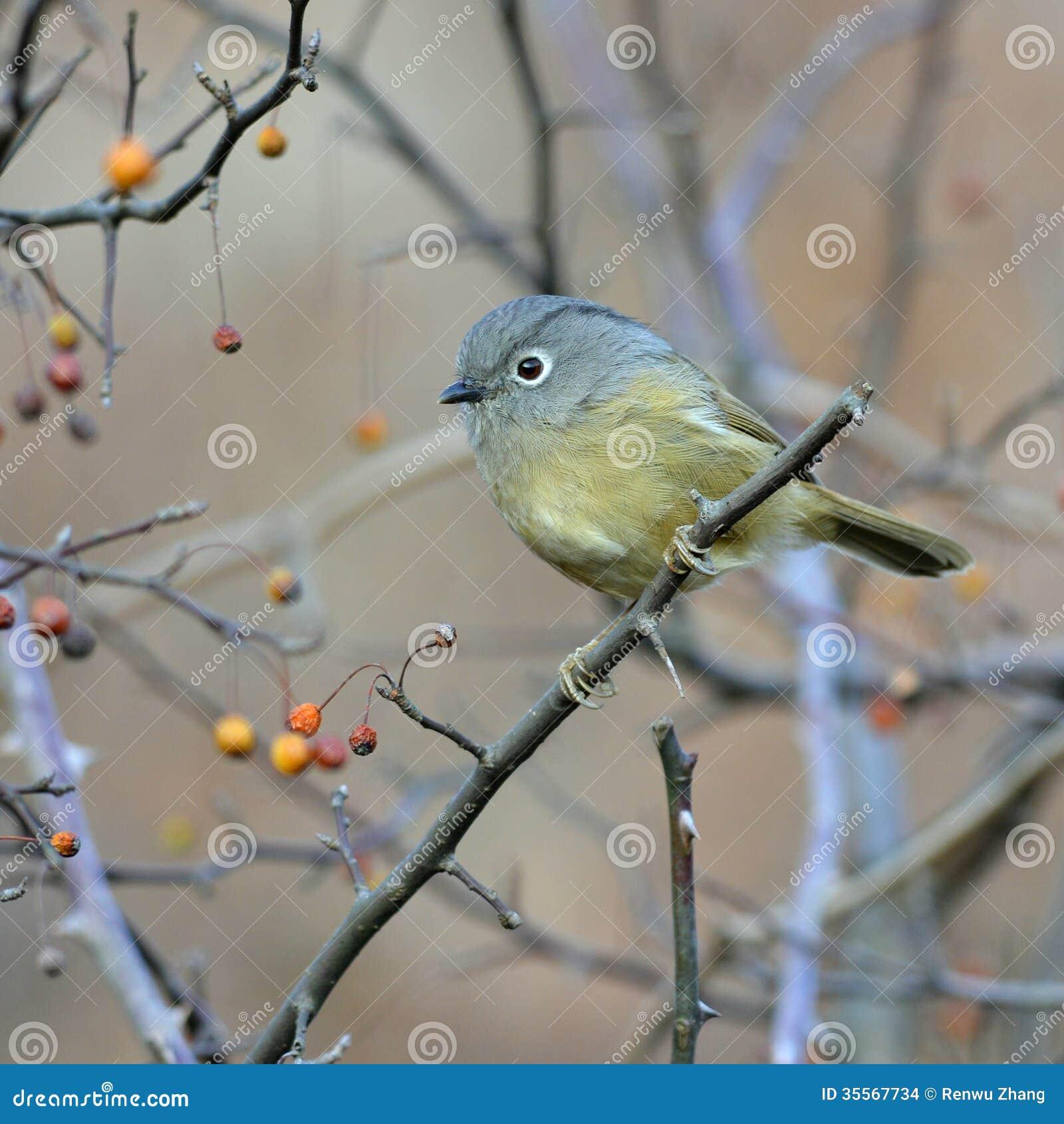 Un uccello migratore grasso