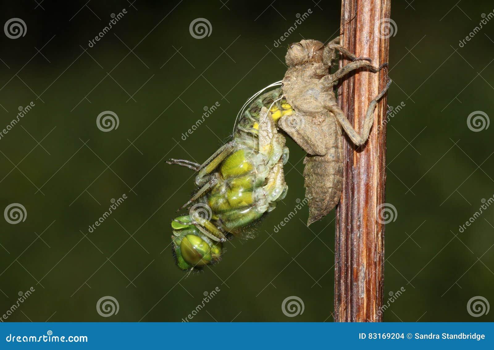 Un vasto depressa bodied di Libellula della libellula dell intercettore che emerge dal retro della crisalide