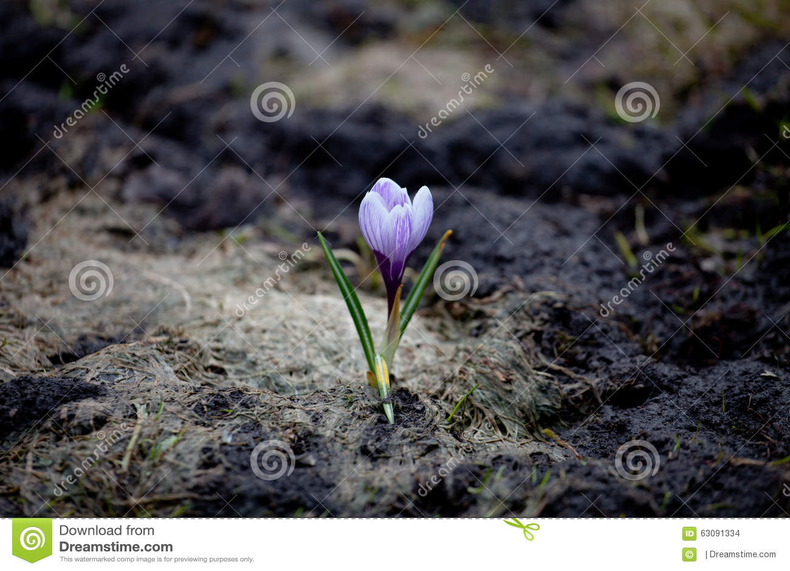 Download Un vernus de crocus photo stock. Image du noir, petit - 63091334