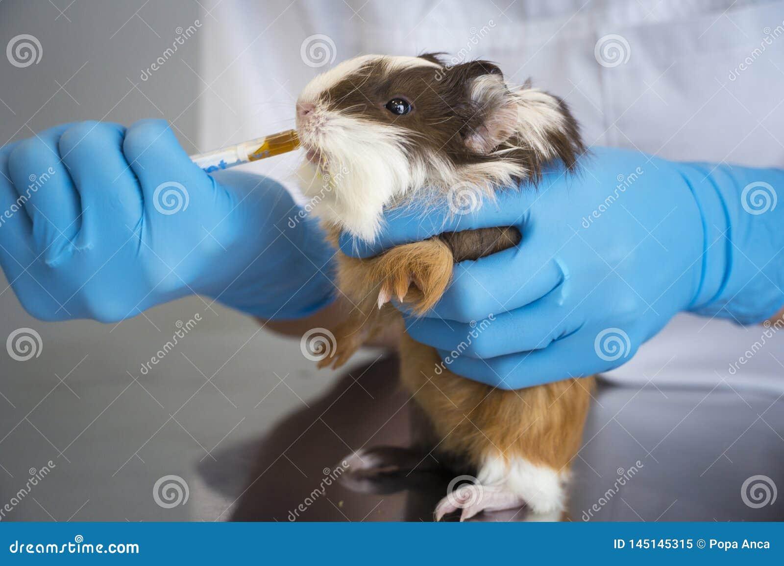 Un veterinario con los guantes azules del examen que dan la medicina con una jeringuilla de alimentación a un conejillo de India