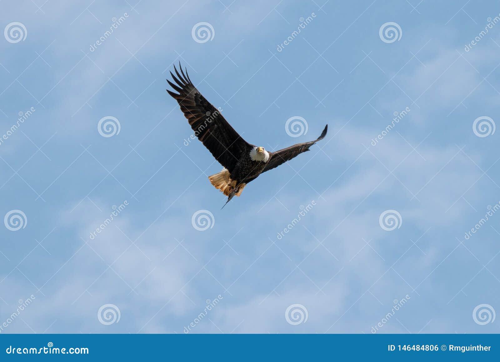 Un vol d Eagle chauve avec un poisson dans lui est des serres