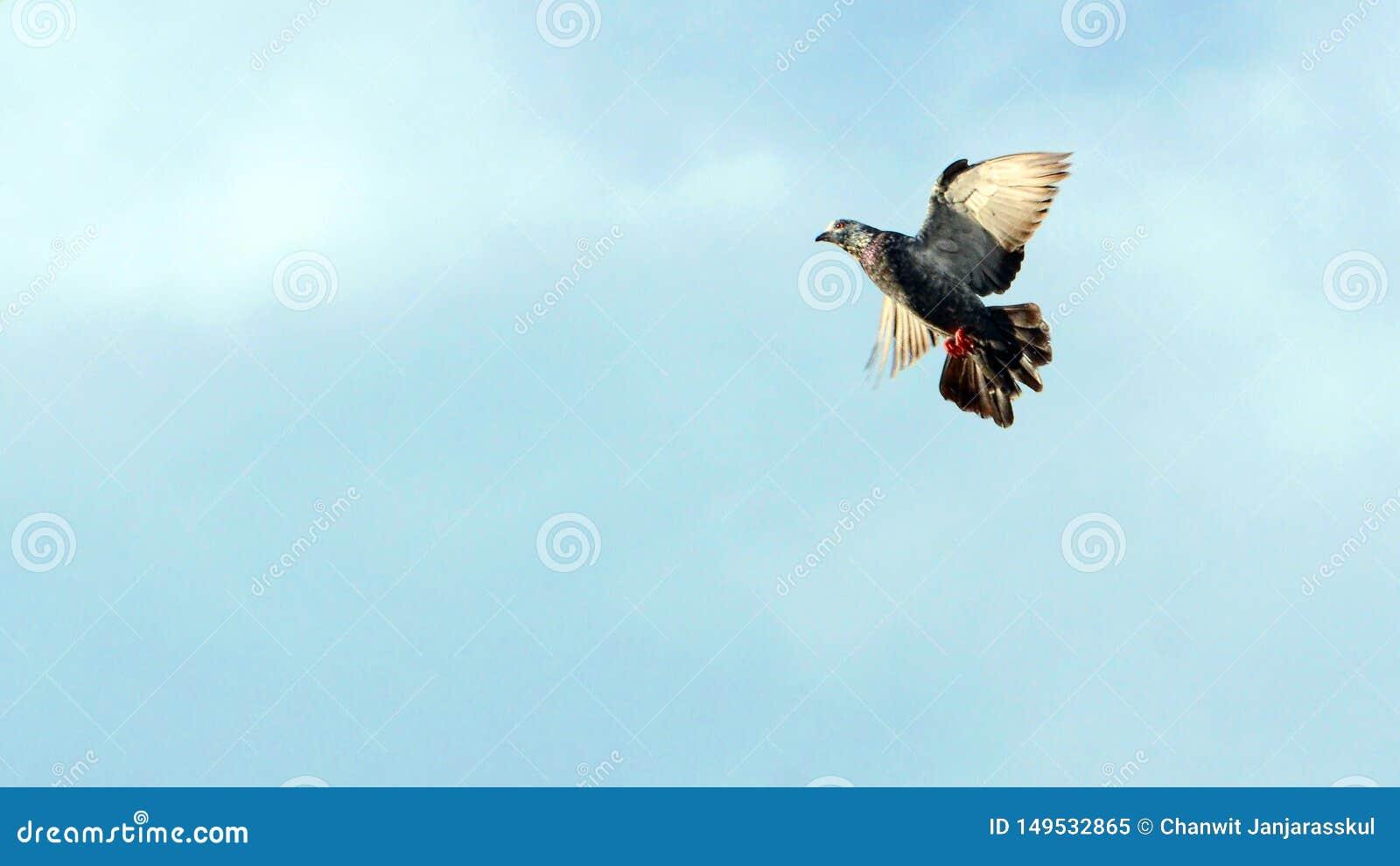 Un vol de pigeon dans le ciel
