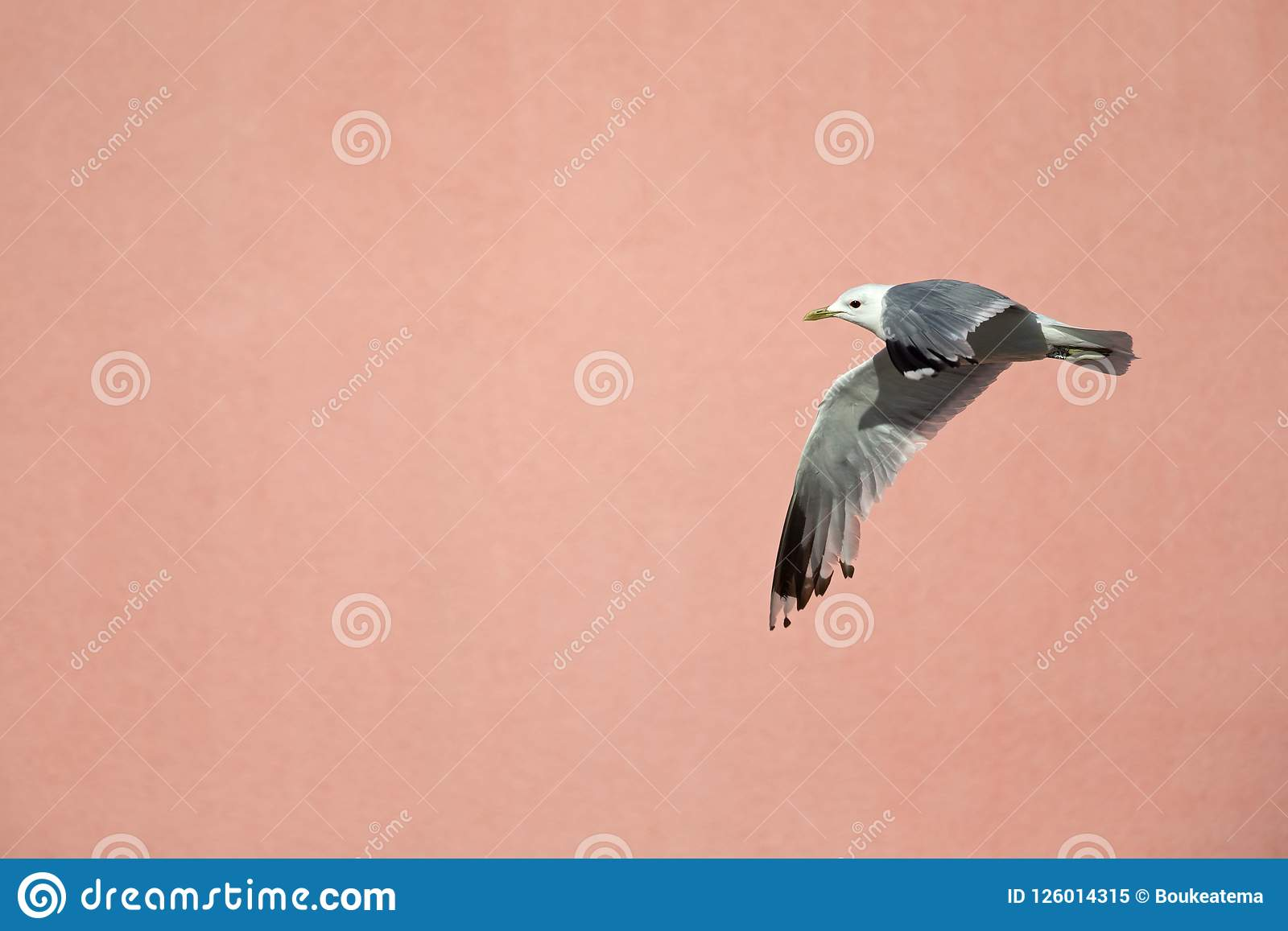 Un volo comune di canus di larus del gabbiano di miagolio o del gabbiano davanti ad una parete rosa nei porti di Brema Germania