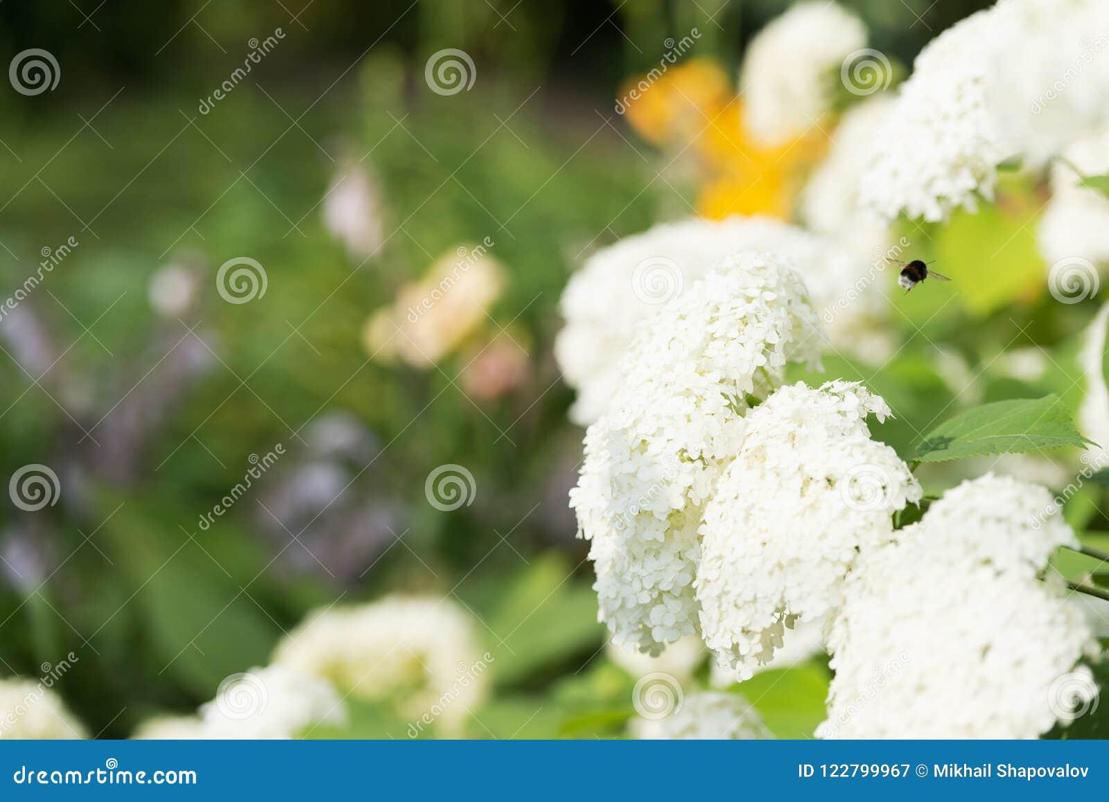 Un volo di un bombo attraverso il fiore si appanna