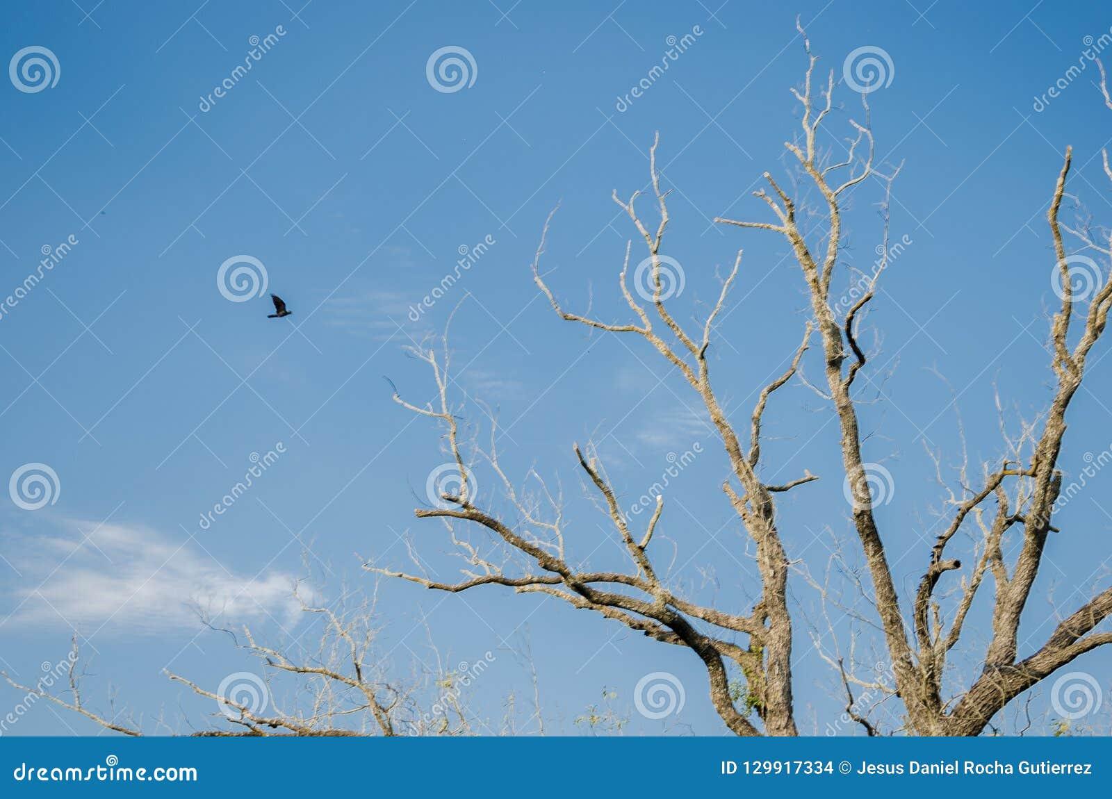 Un volo nero verso un grande albero asciutto, fondo del corvo con un bello chiaro cielo blu