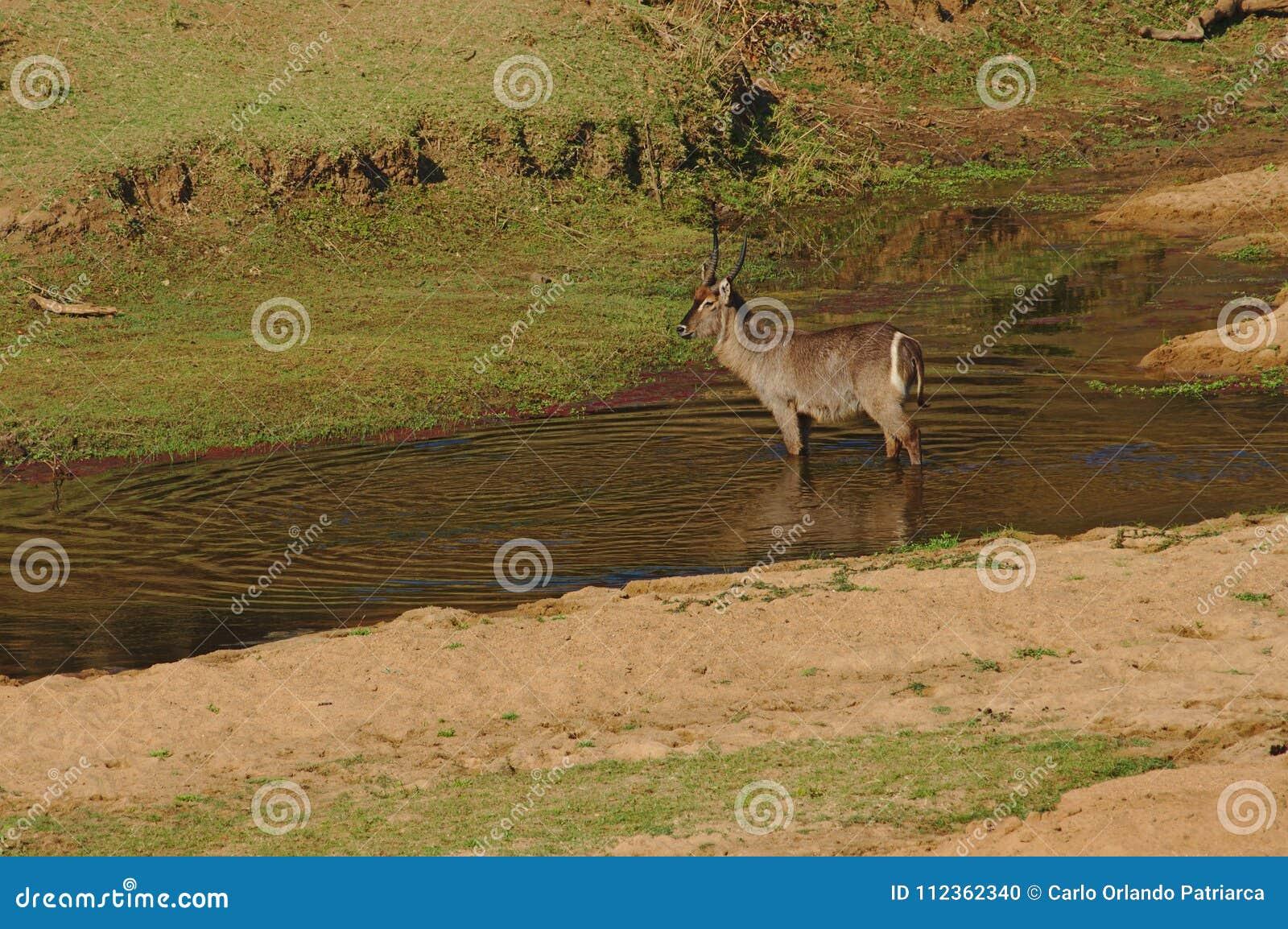 Un Waterbuck masculin en petite rivière en parc national de Kruger, Afrique du Sud