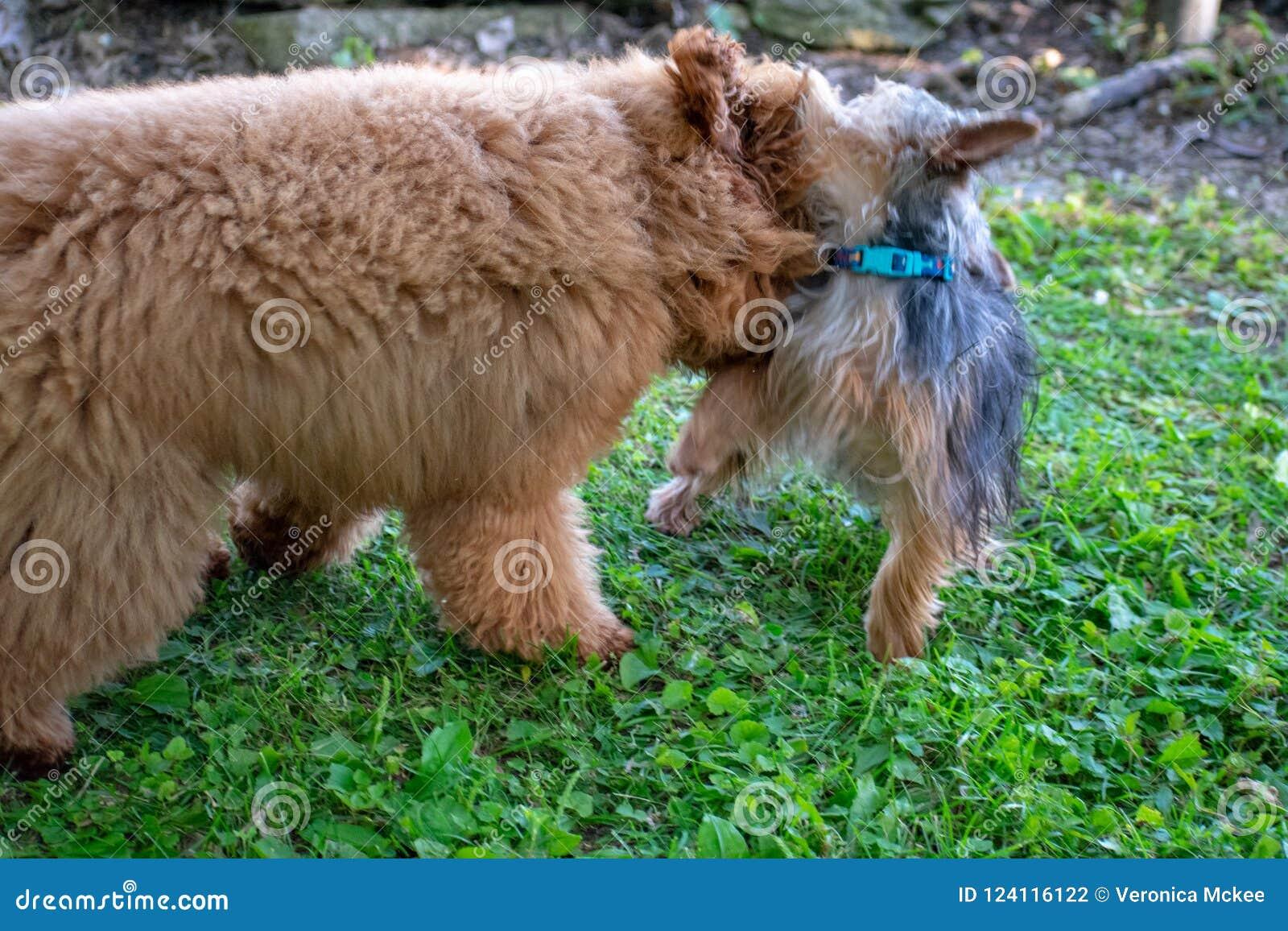 Un yorkie e Toy Poodle