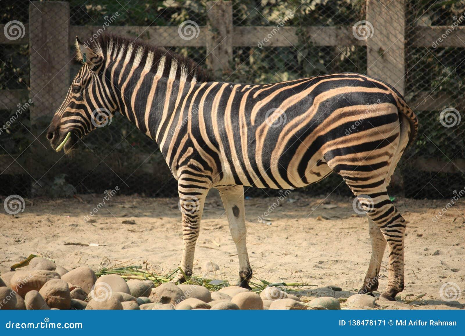Un zèbre au zoo
