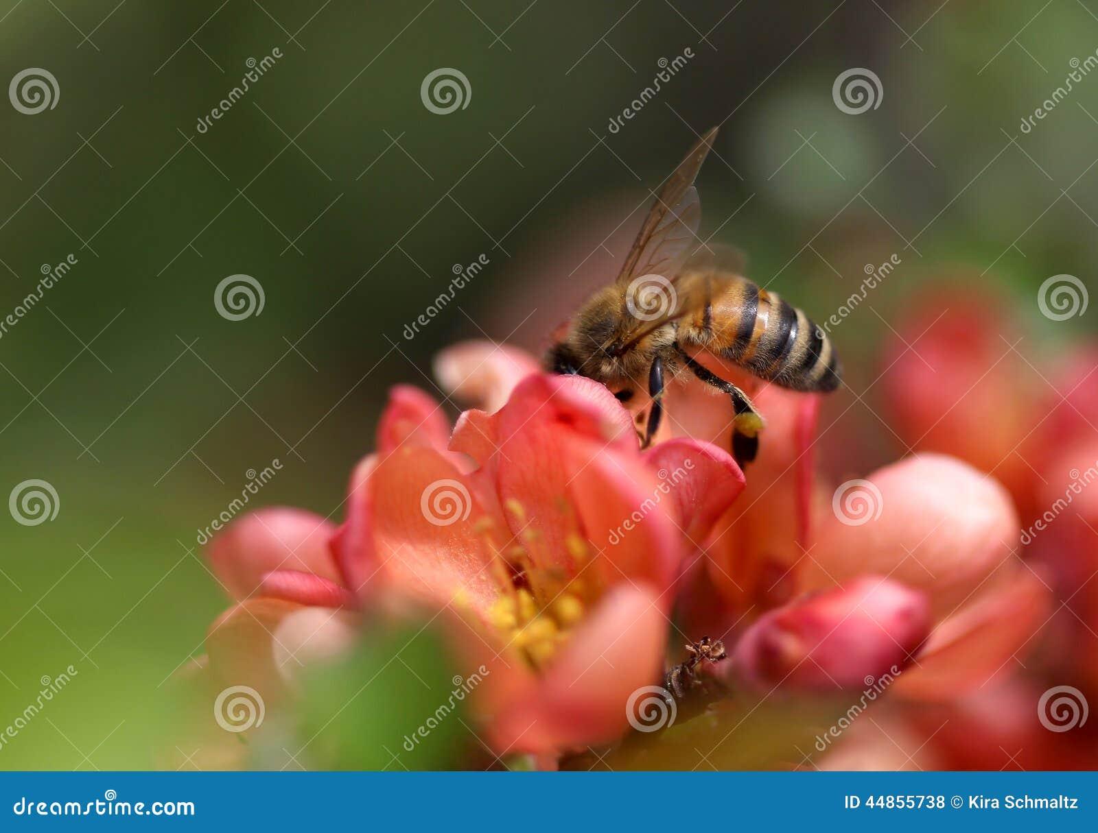 Download Una Abeja Que Se Sienta En Tiro De La Macro Del Flor Del Membrillo Foto de archivo - Imagen de caliente, verde: 44855738