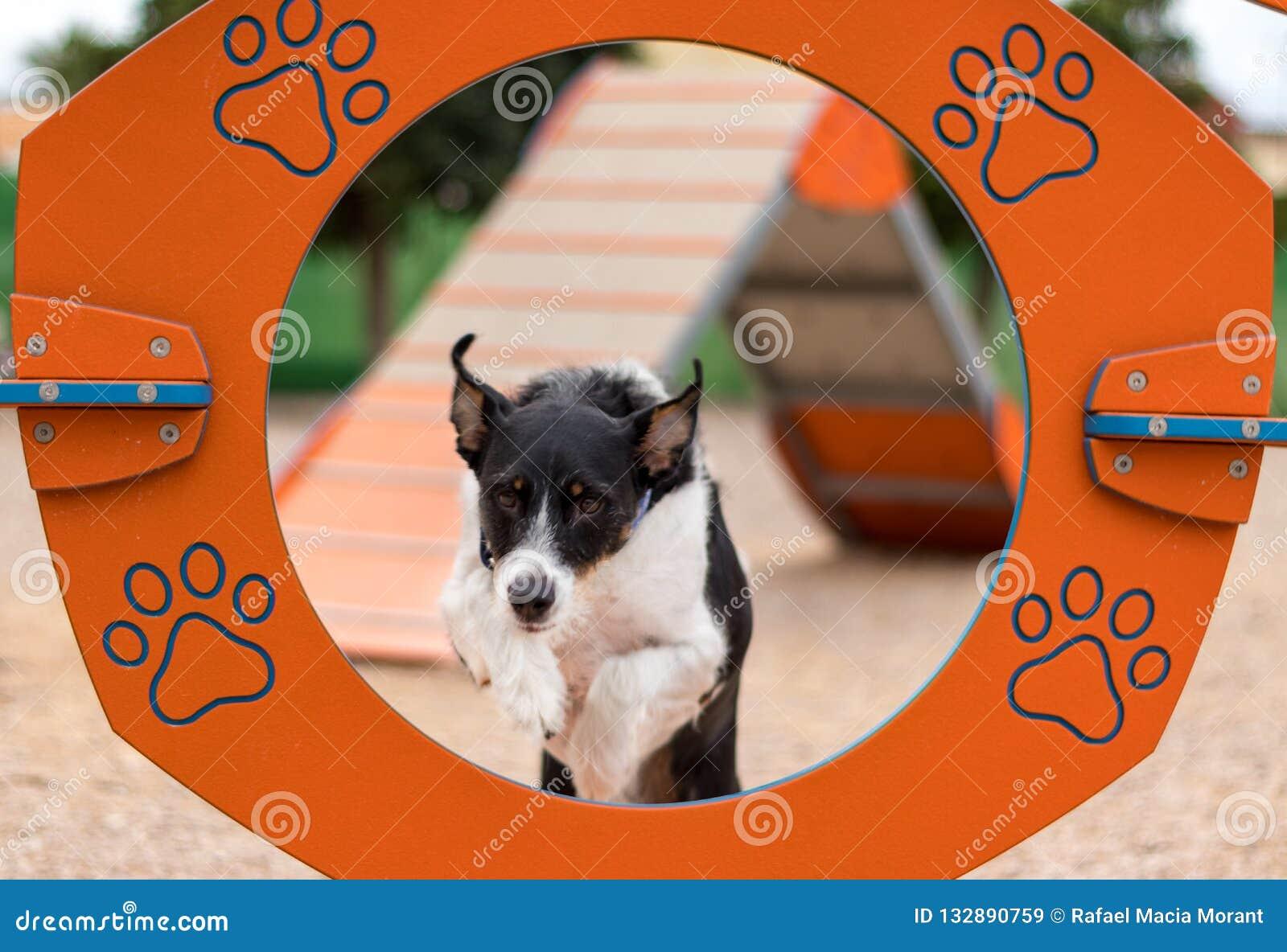 Una agilidad de entrenamiento de salto del perro