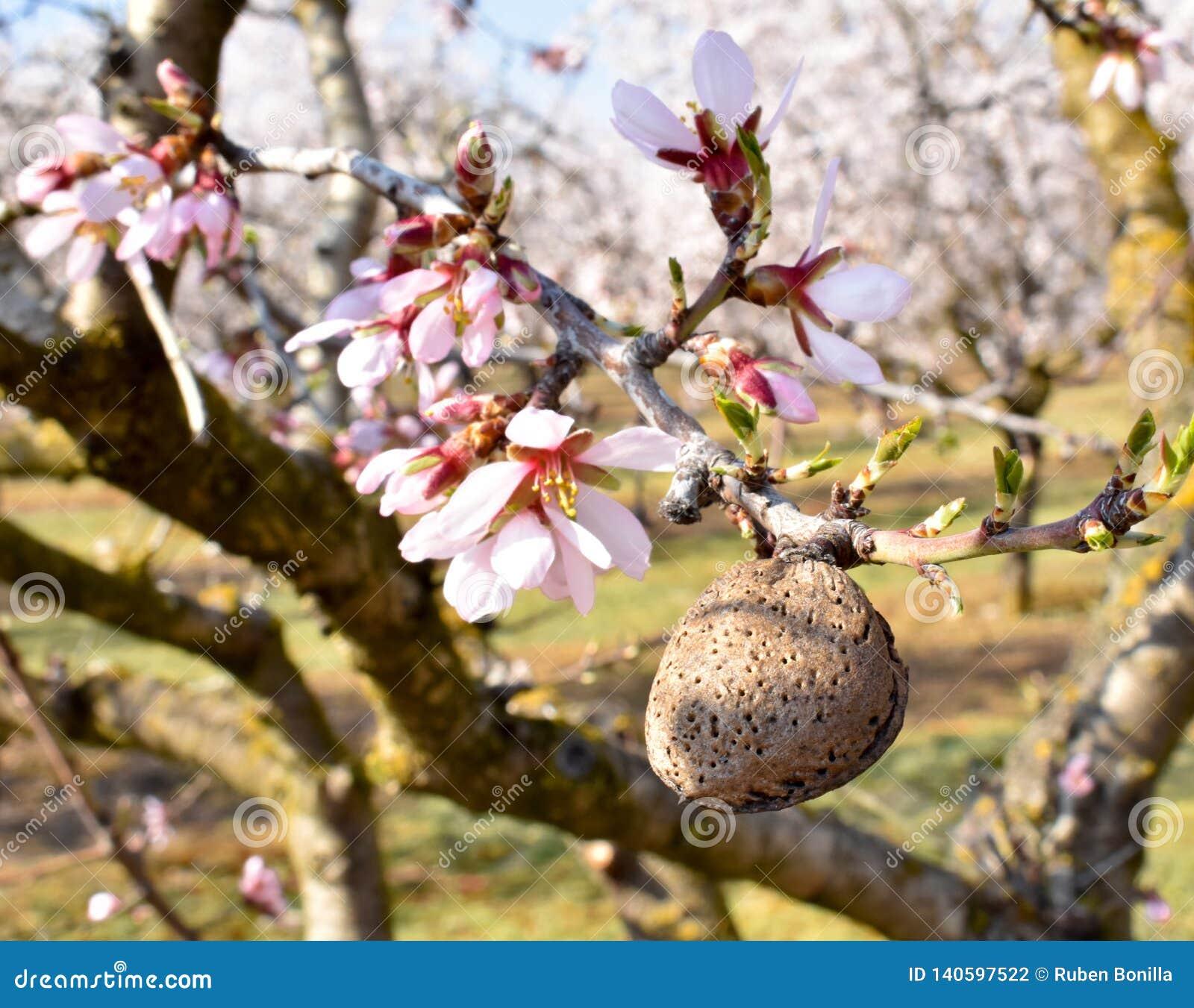 Una almendra y algunas flores blancas de la almendra en el extremo de ramas de un árbol de almendra en un día de primavera con un
