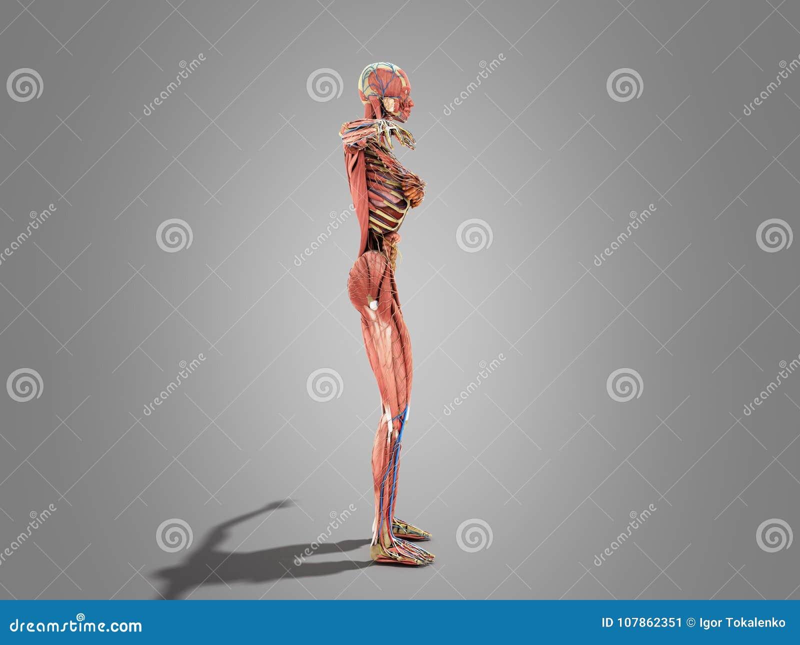 Una Anatomía Del Cuerpo Femenino Para El Ilustration De Los Libros ...