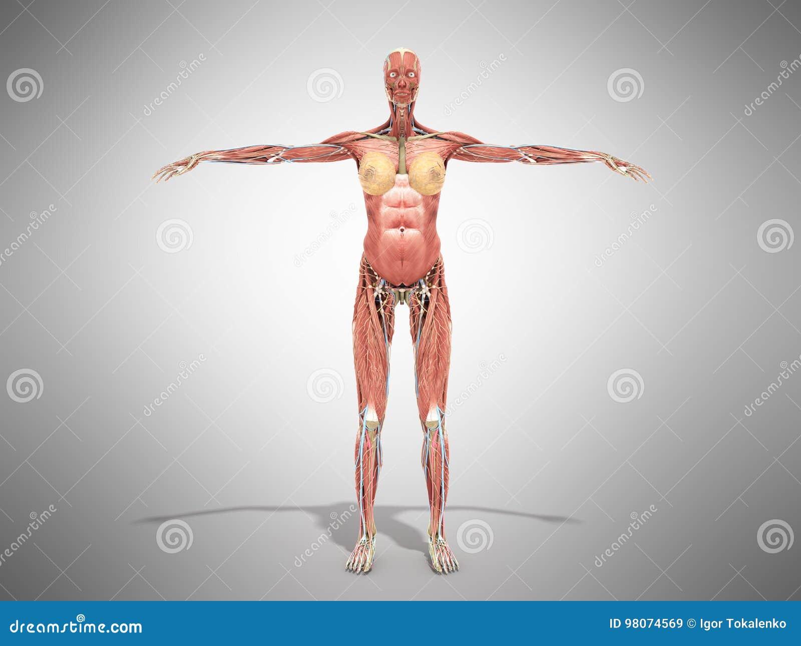 Una Anatomía Del Cuerpo Femenino Para Los Libros 3d Rinde En Gris ...