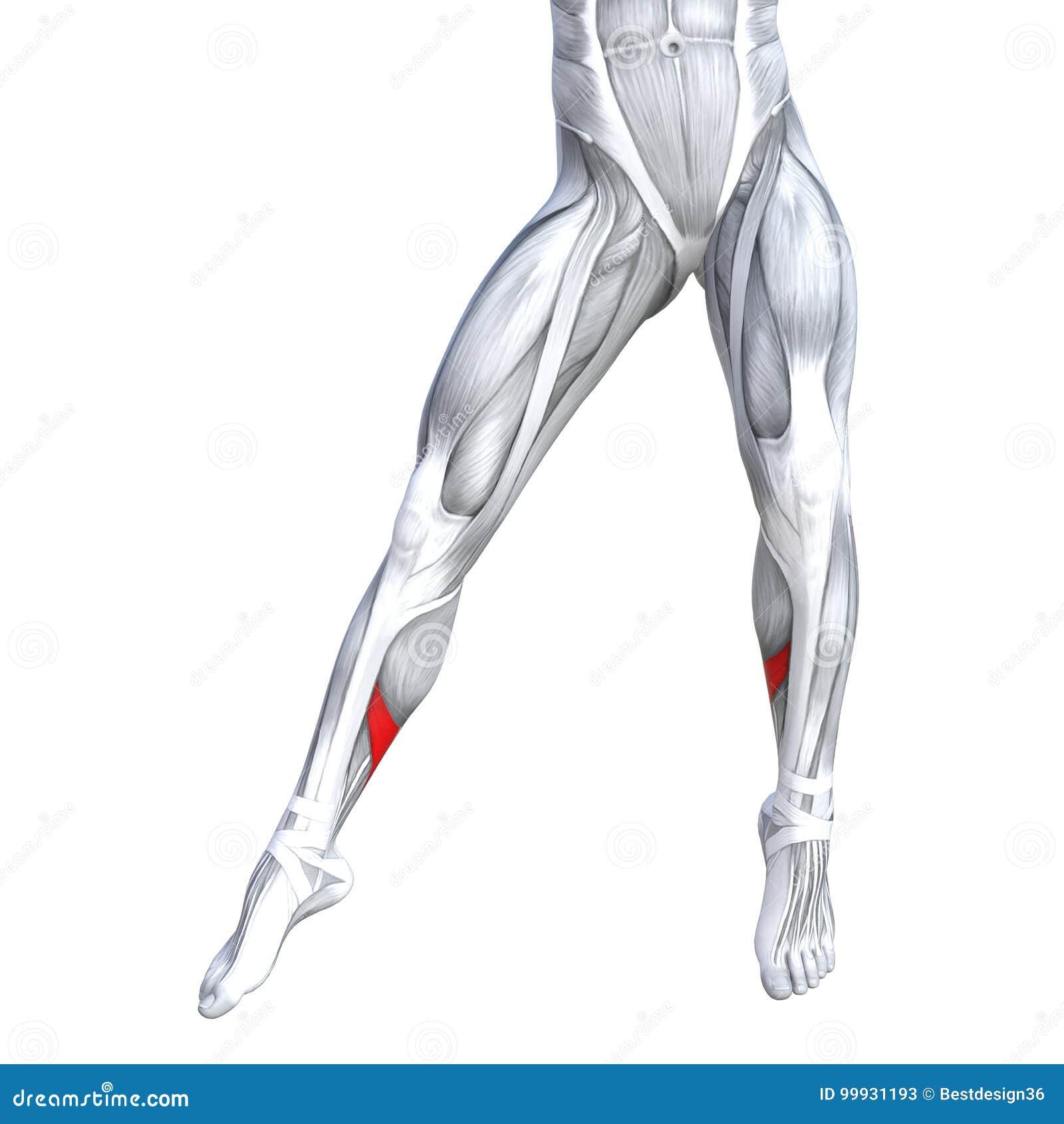 Una Anatomía Más Baja Del Ser Humano De La Pierna Del Frente Del ...