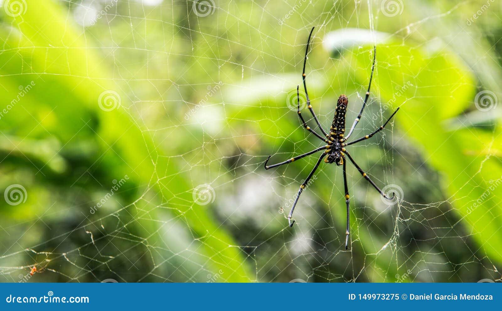 Una araña gigante femenina de maderas en el bosque de la montaña de Taipei