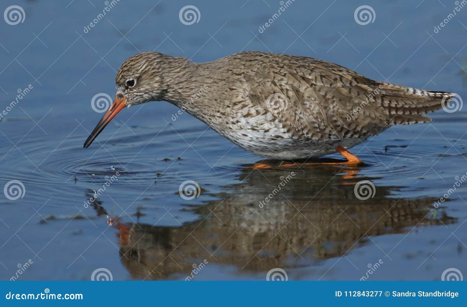 Una bella caccia di totanus del Tringa della pettegola per l alimento in una distesa acqua bassa