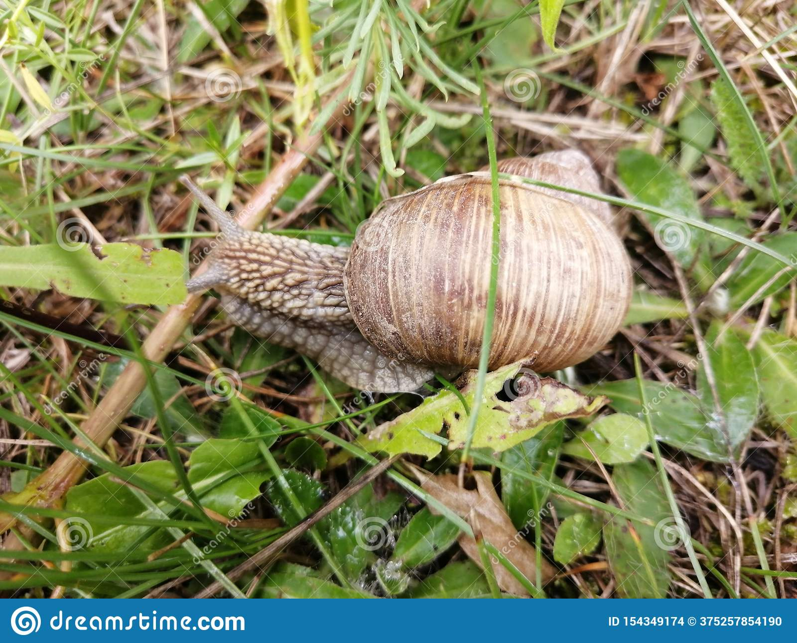 Una bella lumaca che si striscia nell erba