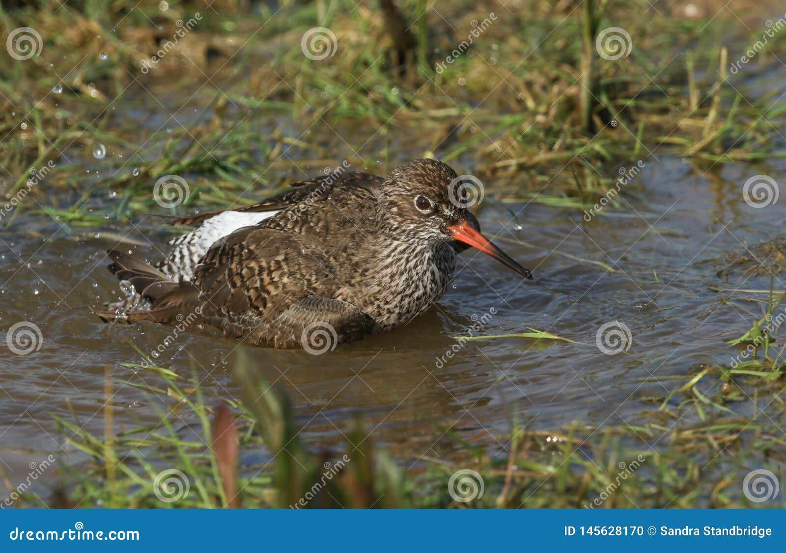 Una bella pettegola, totanus del Tringa, bagnante nell acqua in un prato sommerso