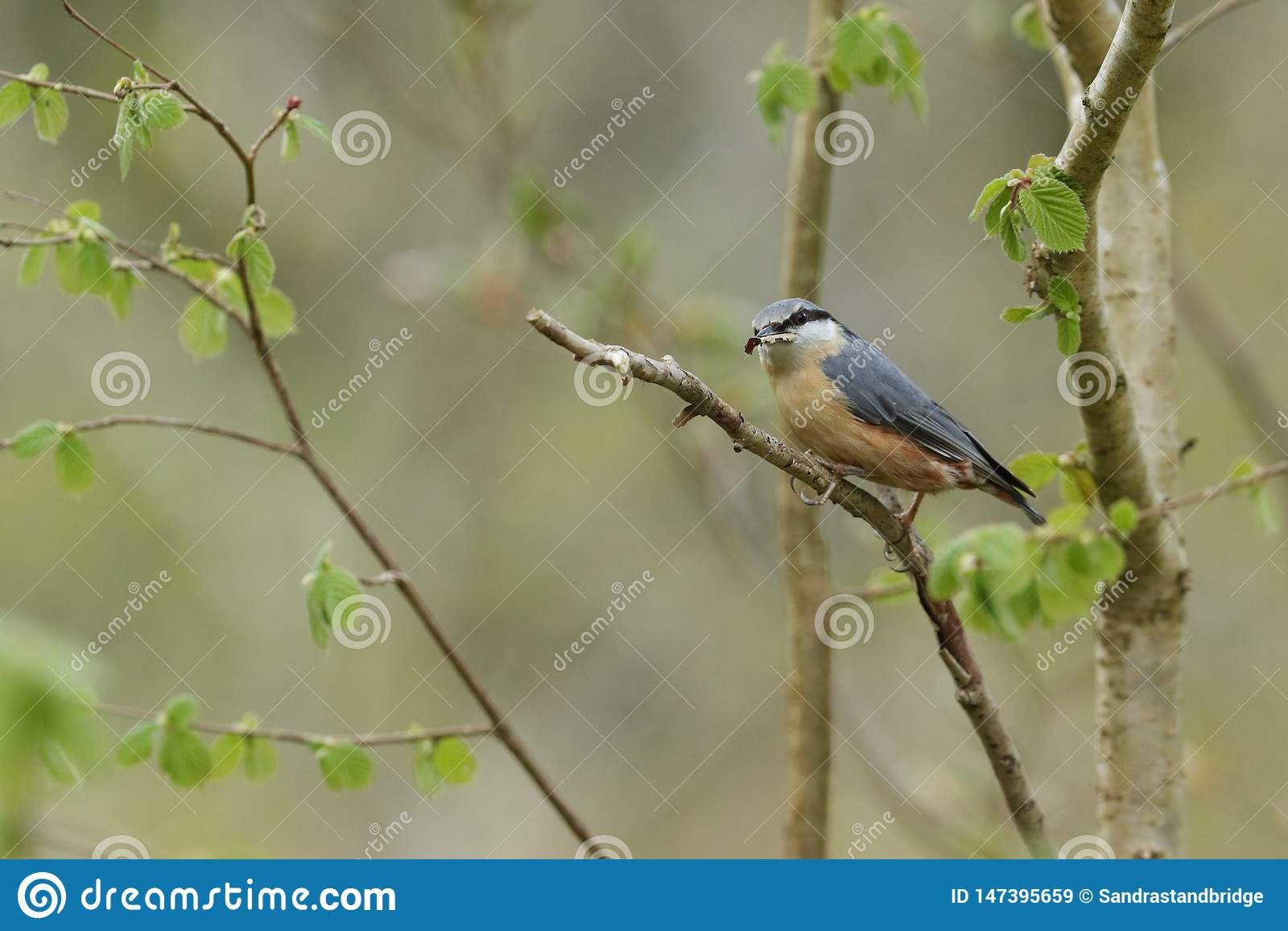 Una bella sitta, europaea del Sitta, appollaiantesi in un albero con materiale per il nido in suo becco